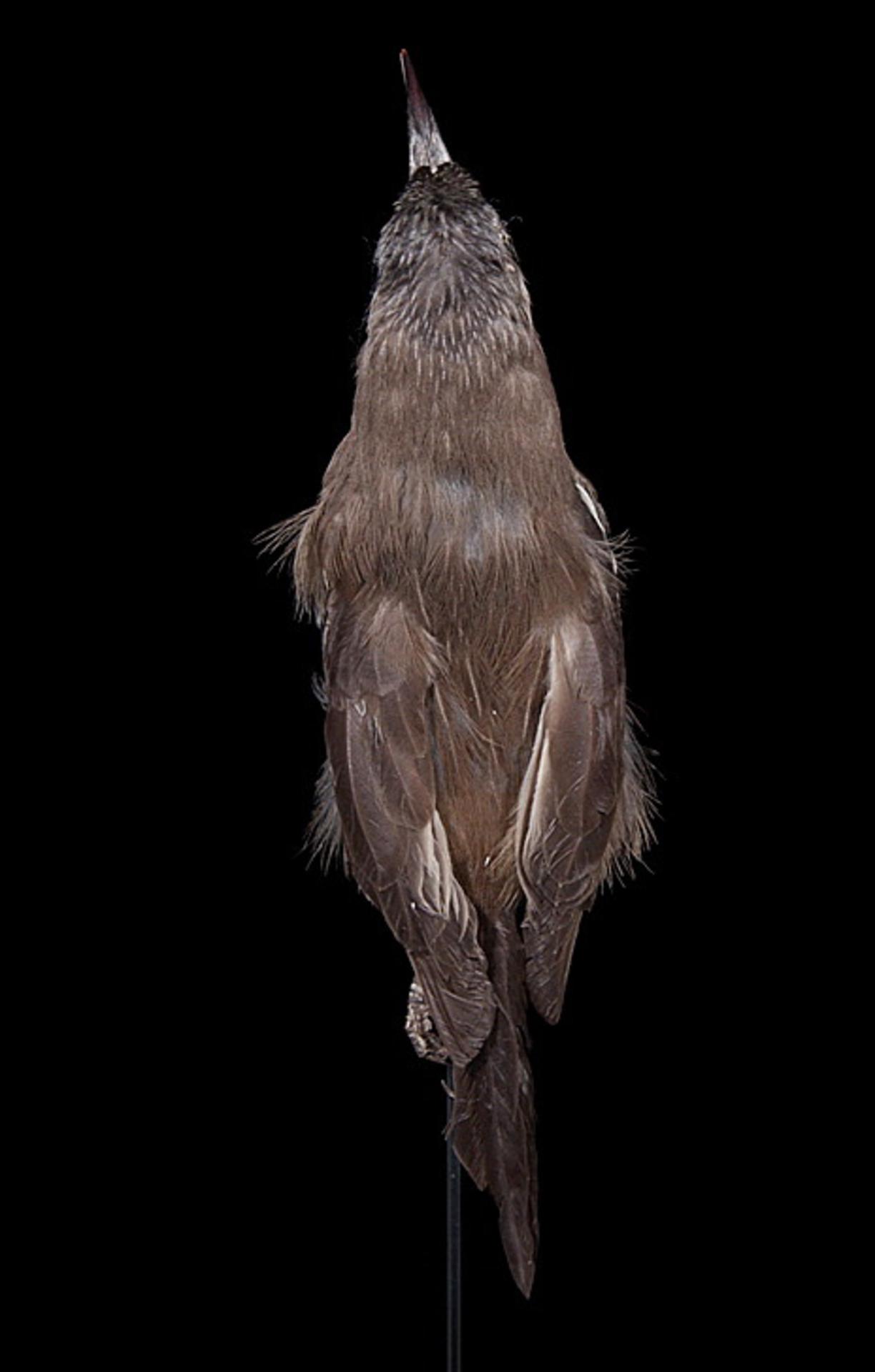 RMNH.AVES.110029   Moho braccatus Cassin, 1858