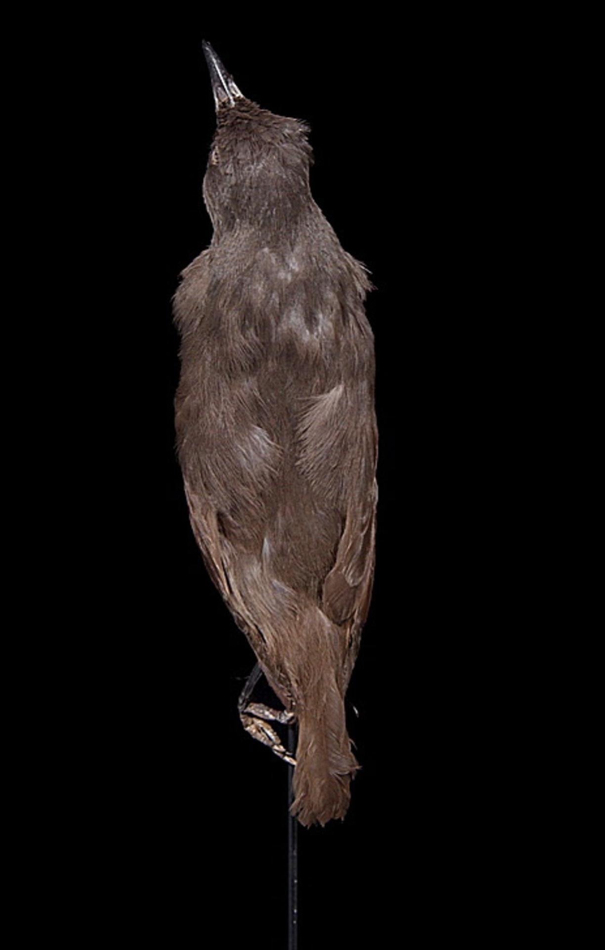 RMNH.AVES.110031 | Aplonis pelzelni Finsch, 1876