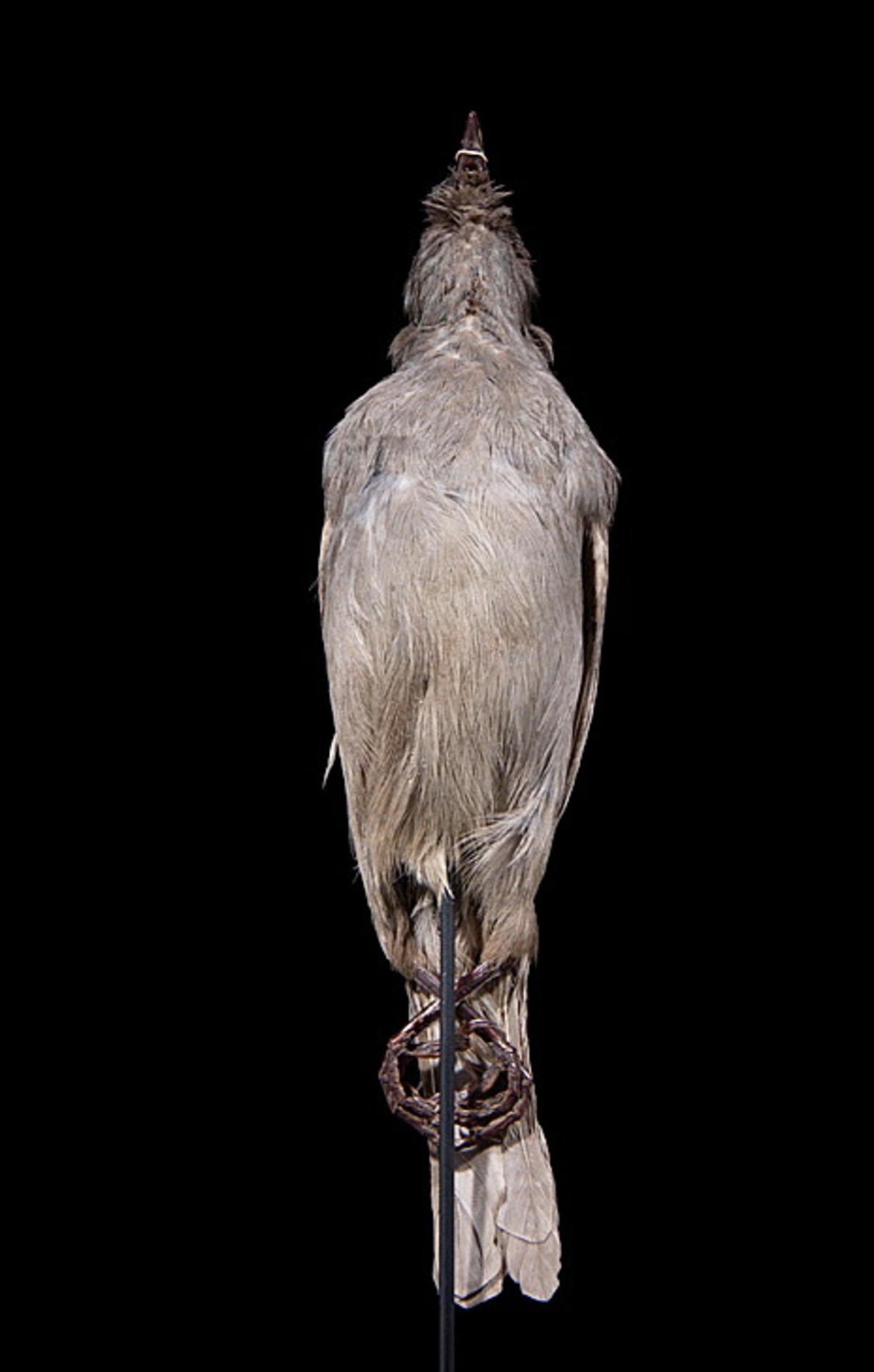 RMNH.AVES.110032 | Aplonis fusca hulliana Matthews, 1912