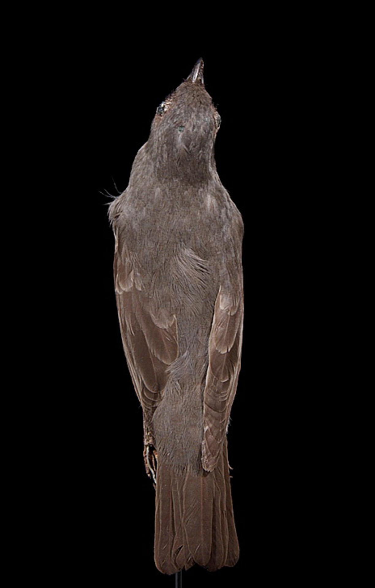 RMNH.AVES.110033 | Aplonis fusca hulliana Matthews, 1912