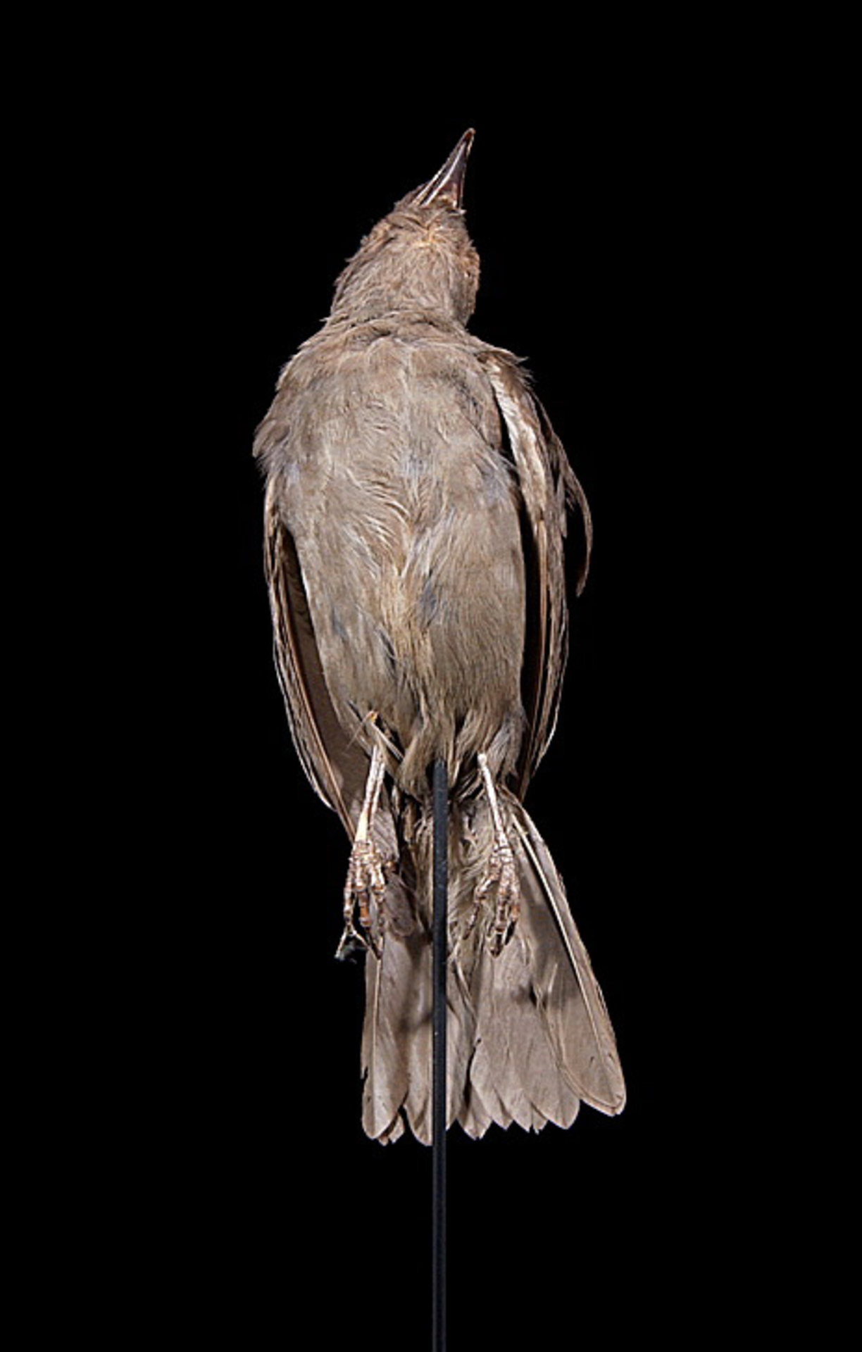 RMNH.AVES.110034 | Aplonis fusca Gould, 1836