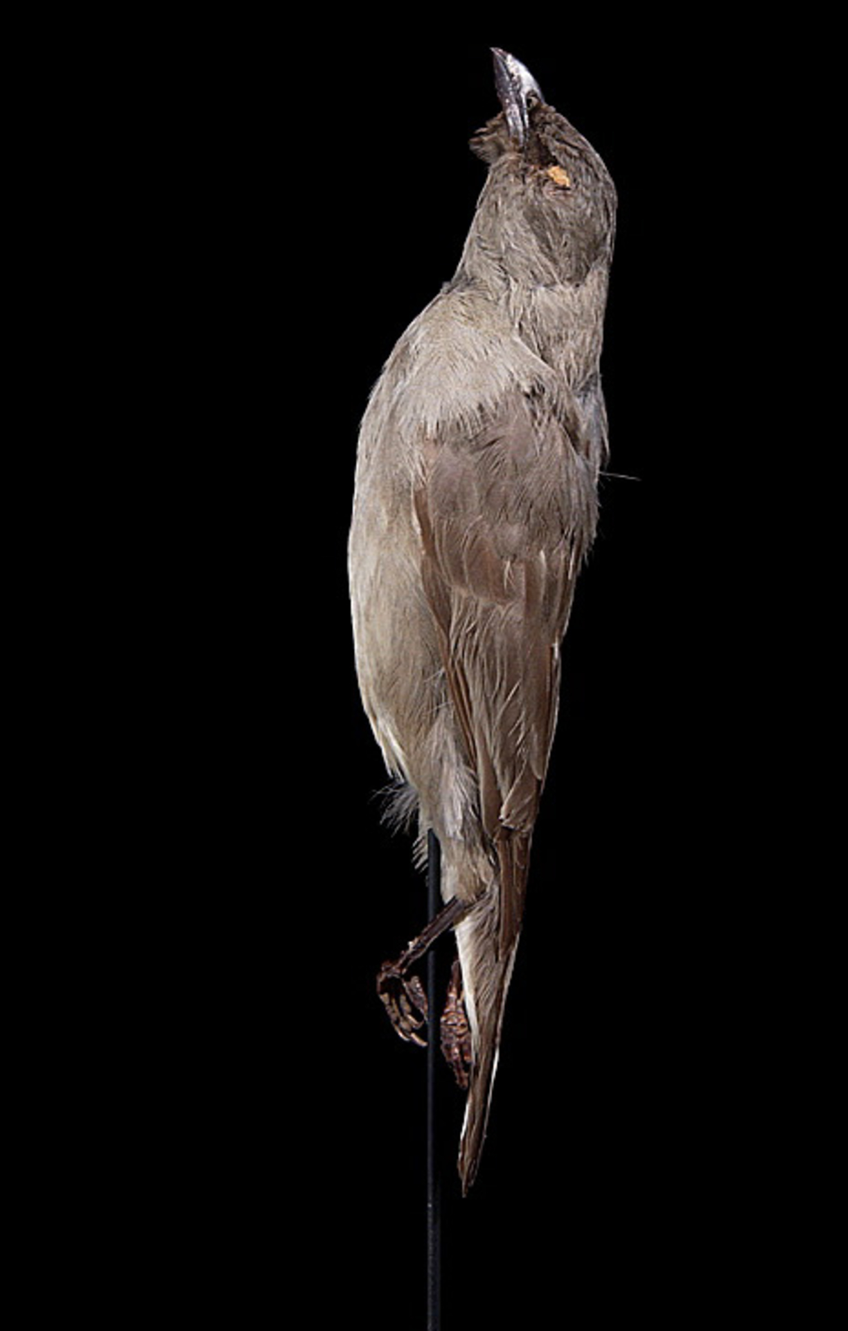 RMNH.AVES.110035 | Aplonis fusca hulliana Matthews, 1912