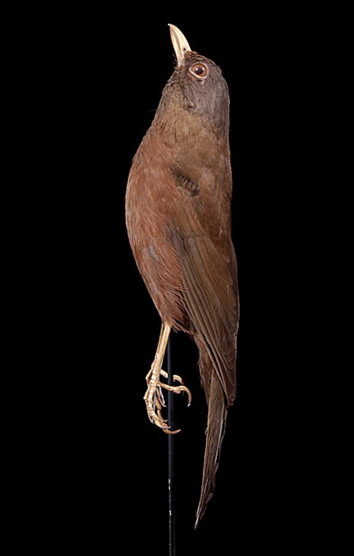 RMNH.AVES.110036   Turdus poliocephalus vinitinctus (Gould, 1855)