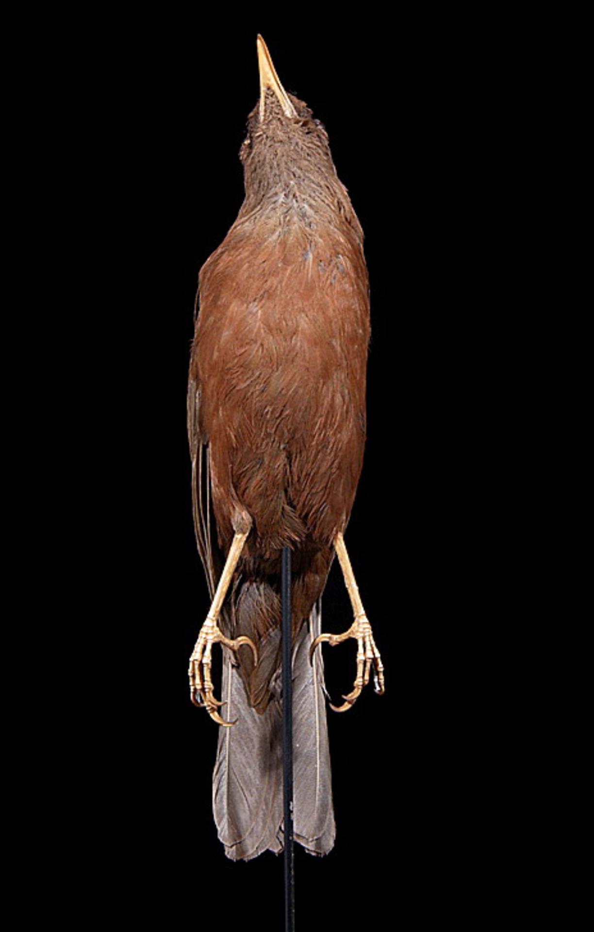 RMNH.AVES.110036 | Turdus poliocephalus vinitinctus (Gould, 1855)