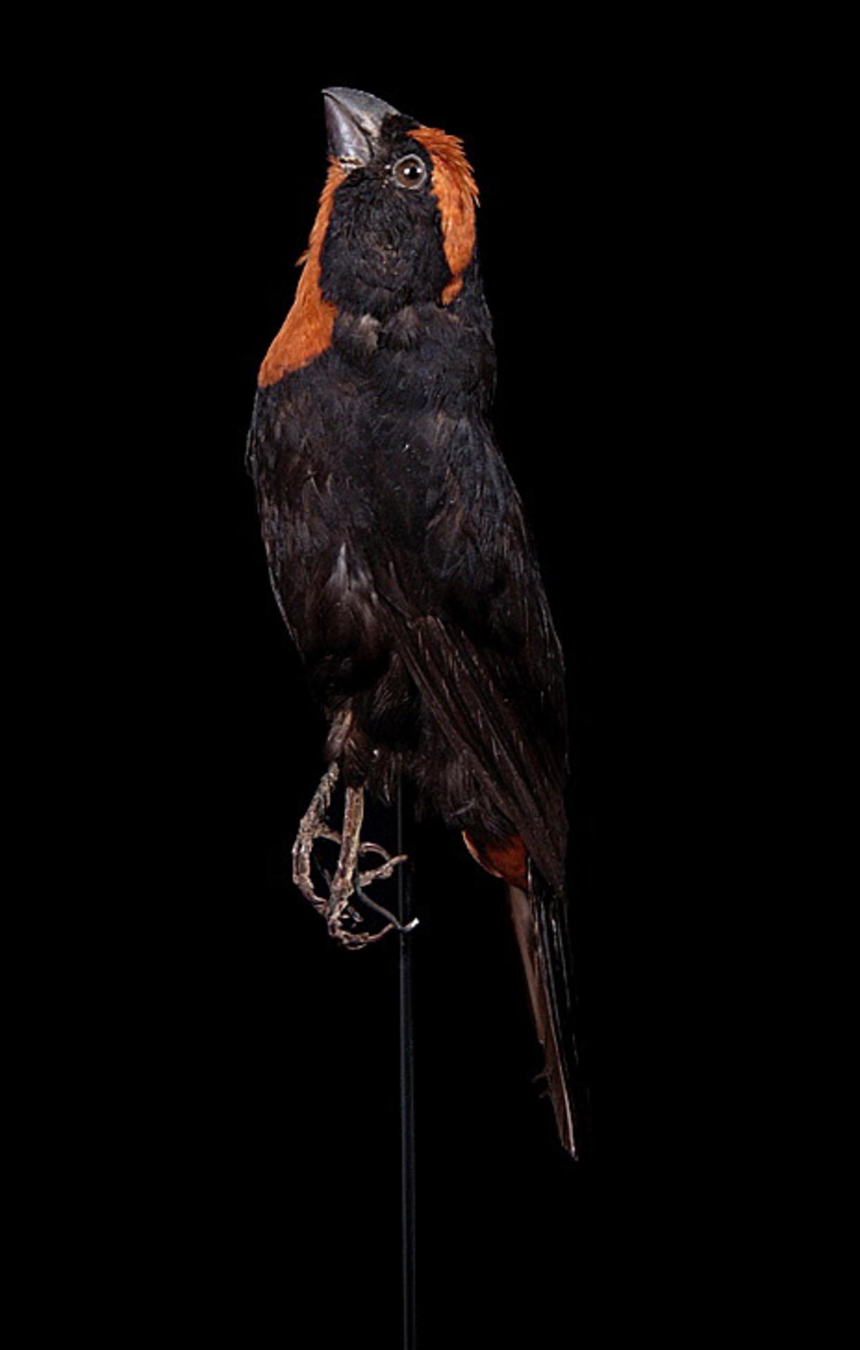 RMNH.AVES.110037 | Loxigilla portoricensis grandis Lawrence, 1881
