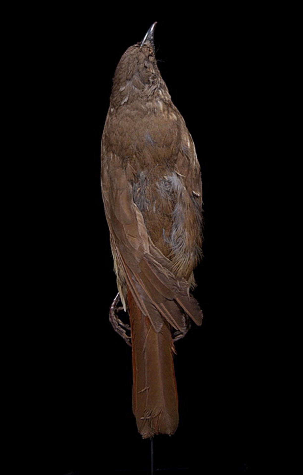 RMNH.AVES.110040 | Turnagra capensis capensis (Sparrman, 1787)