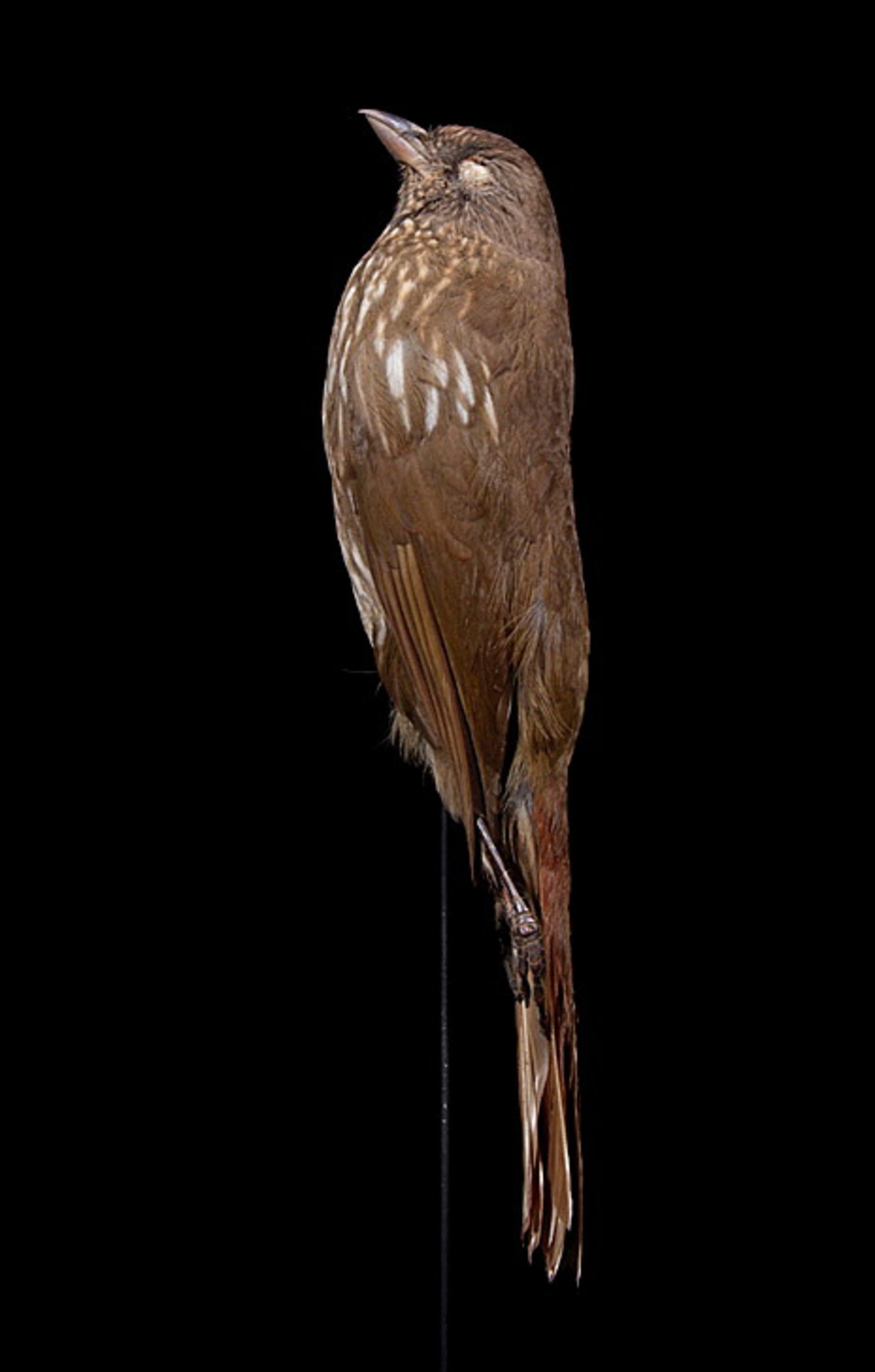 RMNH.AVES.110041 | Turnagra capensis capensis (Sparrman, 1787)