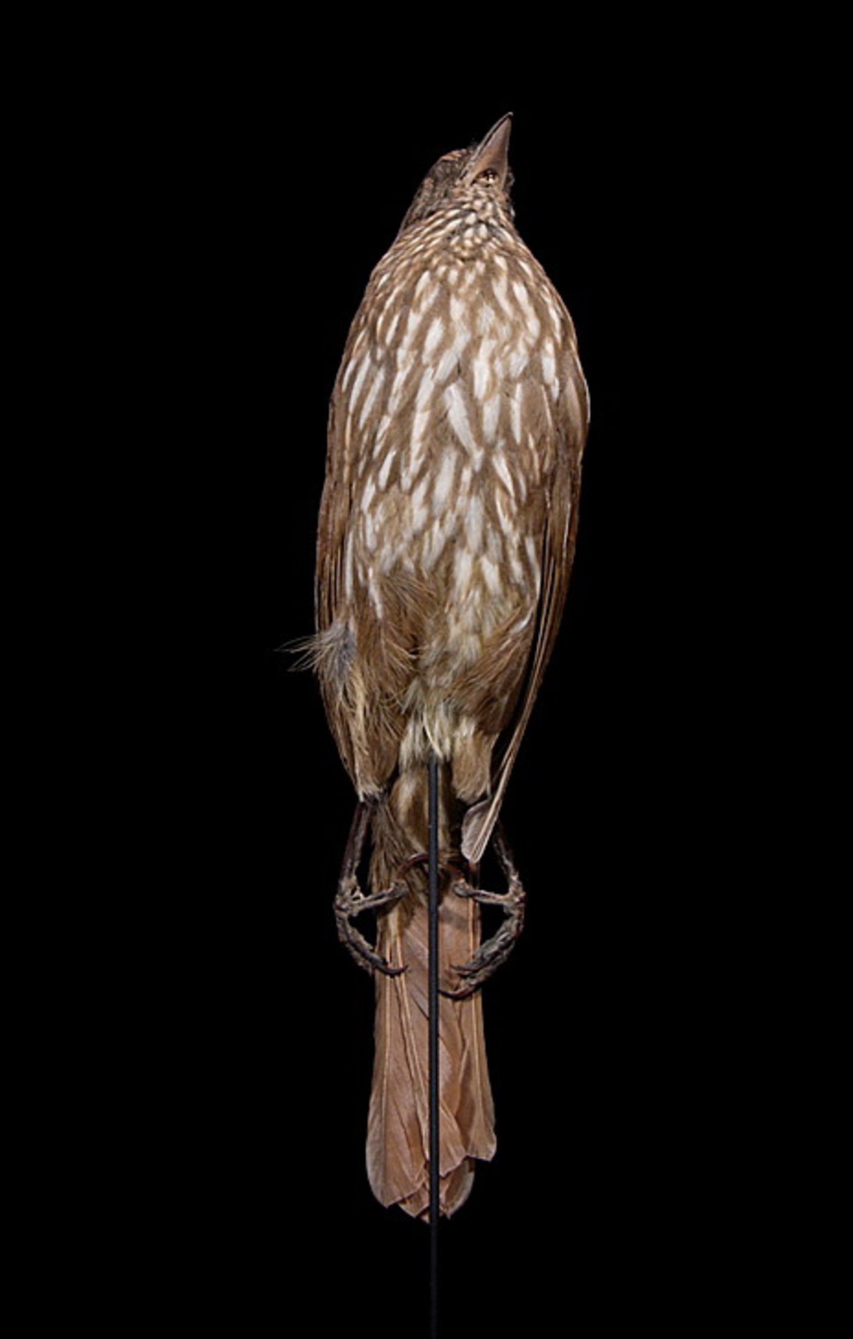 RMNH.AVES.110041 | Turnagra capensis capensis Sparrman, 1787