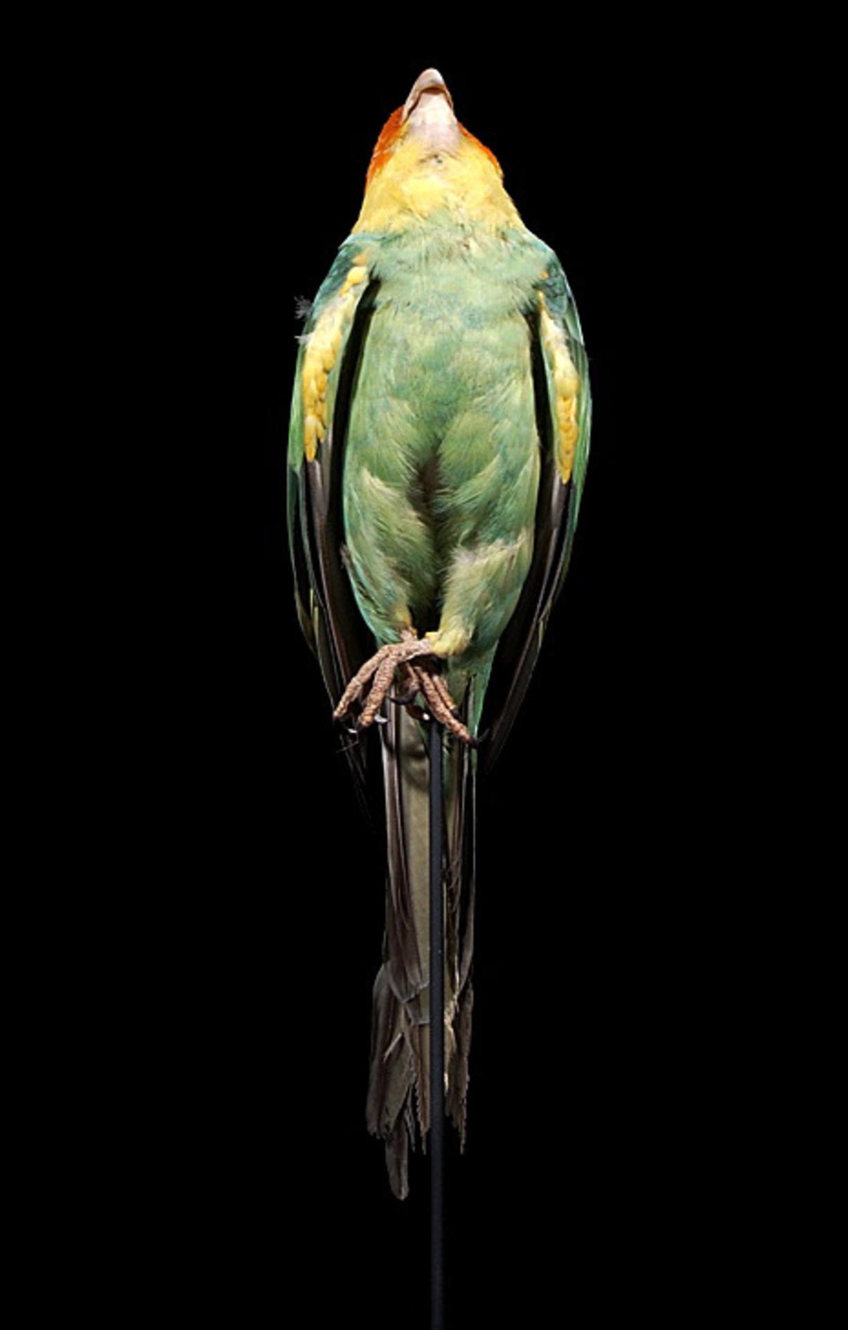 RMNH.AVES.110042 | Conuropsis carolinensis ludoviciana (Gmelin, 1788)