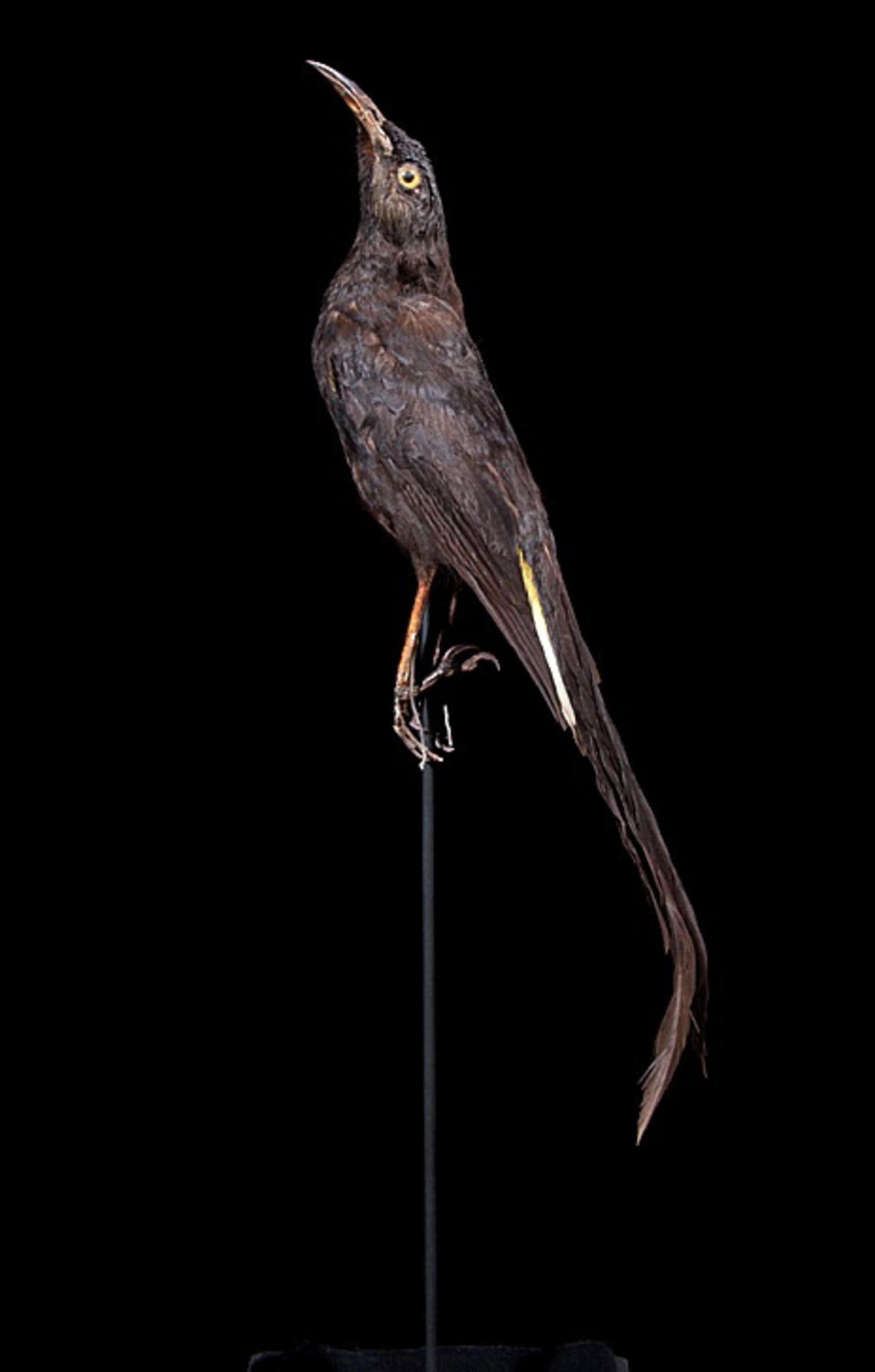 RMNH.AVES.110044 | Moho nobilis (Merrem, 1786)