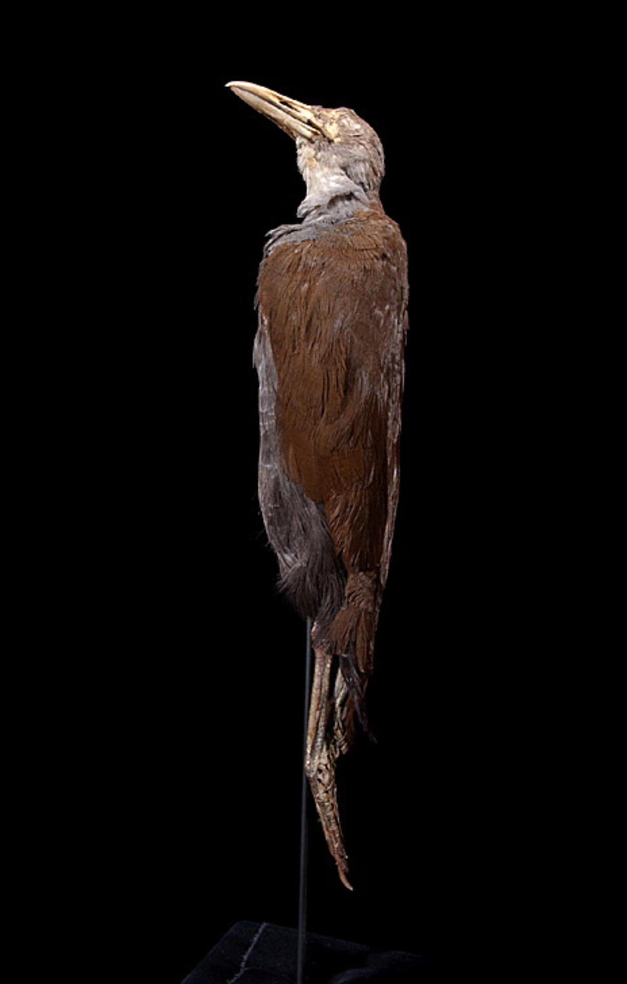 RMNH.AVES.110047 | Nesoclopeus poecilopterus poecilopterus (Hartlaub, 1866)