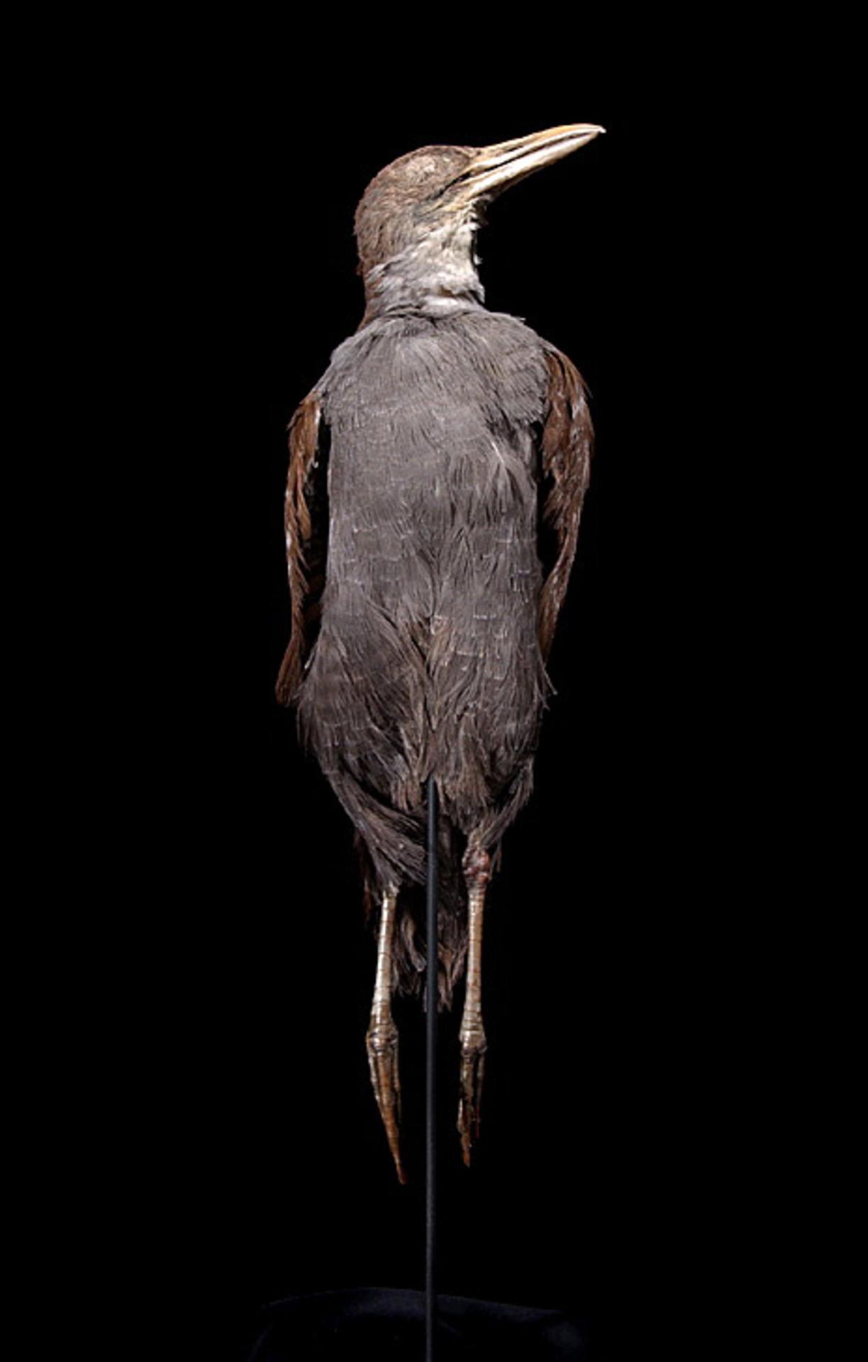 RMNH.AVES.110047 | Nesoclopeus poecilopterus poecilopterus Hartlaub, 1866