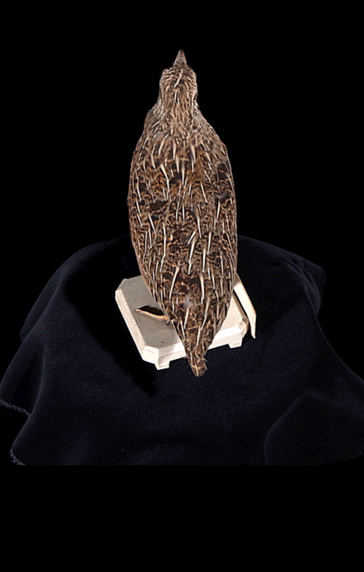 RMNH.AVES.110052 | Coturnix novaezelandiae Quoy & Gaimard, 1830