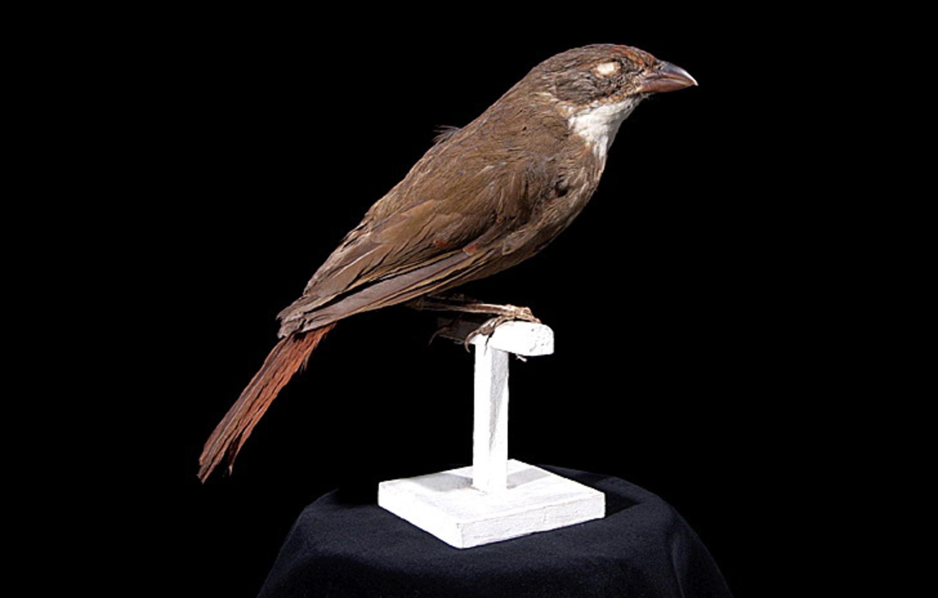 RMNH.AVES.110054 | Turnagra capensis turnagra (Schlegel, 1865)