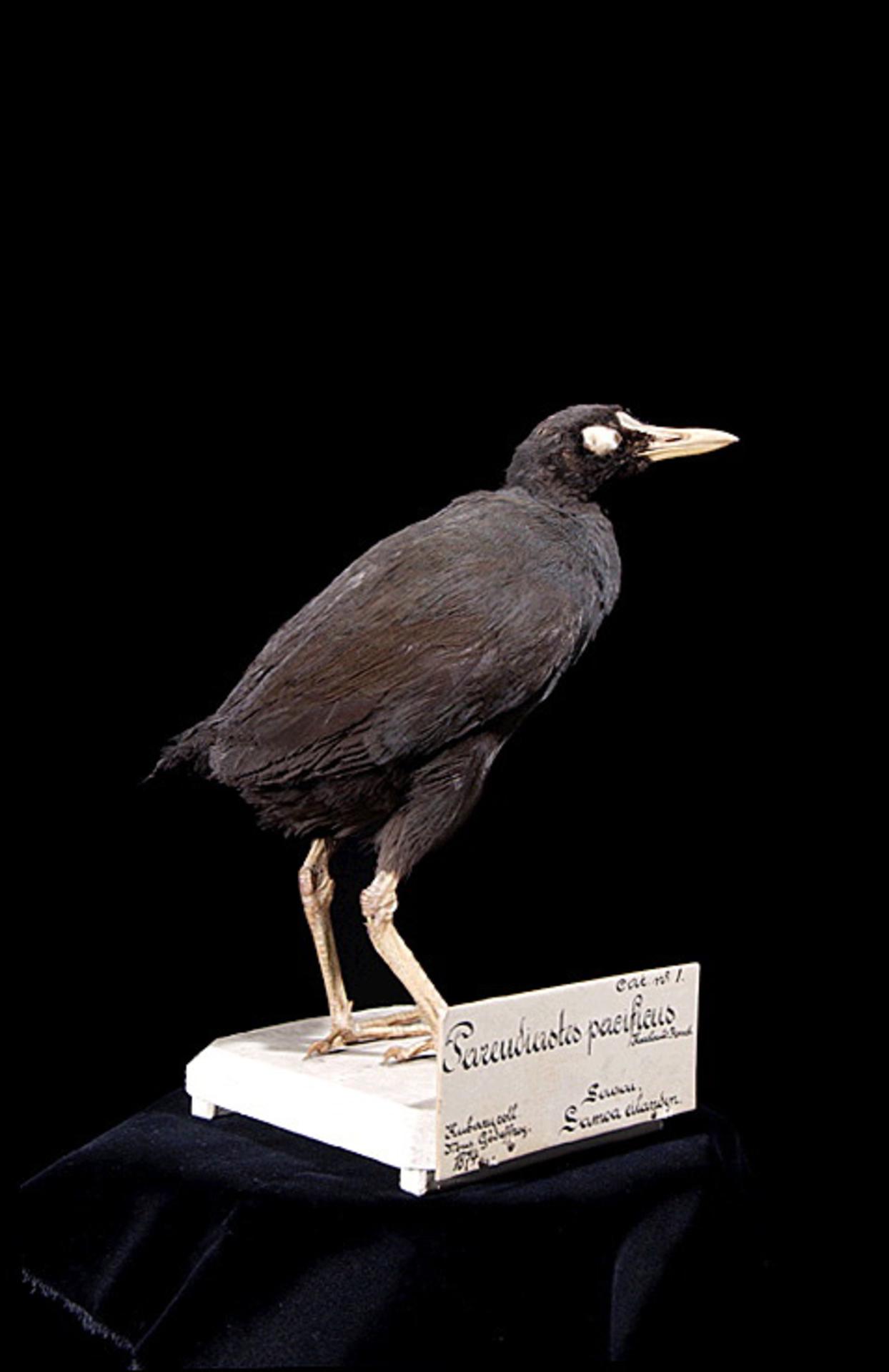 RMNH.AVES.110060 | Gallinula pacifica (Hartlaub & Finsch, 1871)
