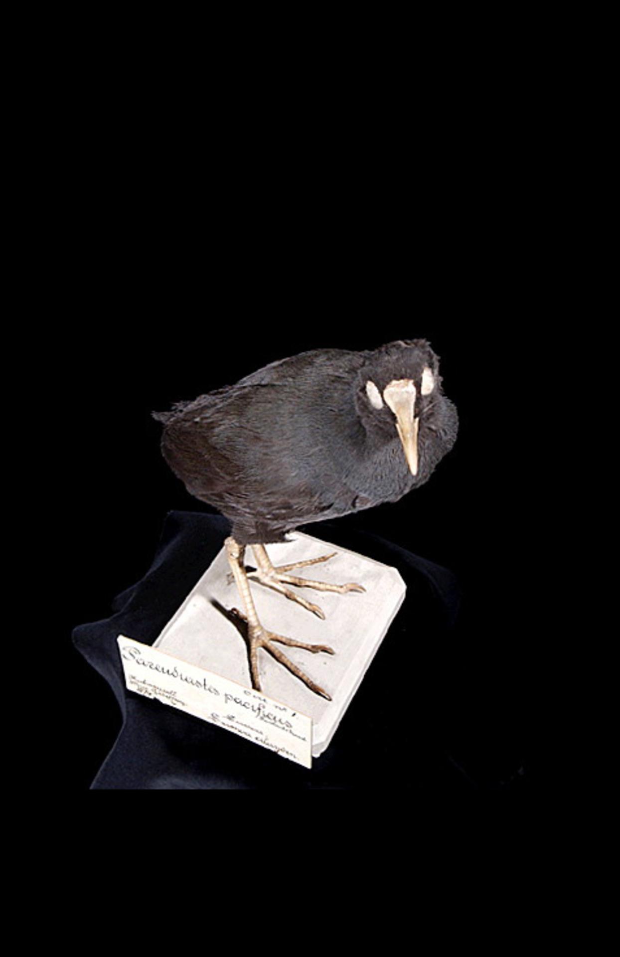RMNH.AVES.110060   Gallinula pacifica (Hartlaub & Finsch, 1871)