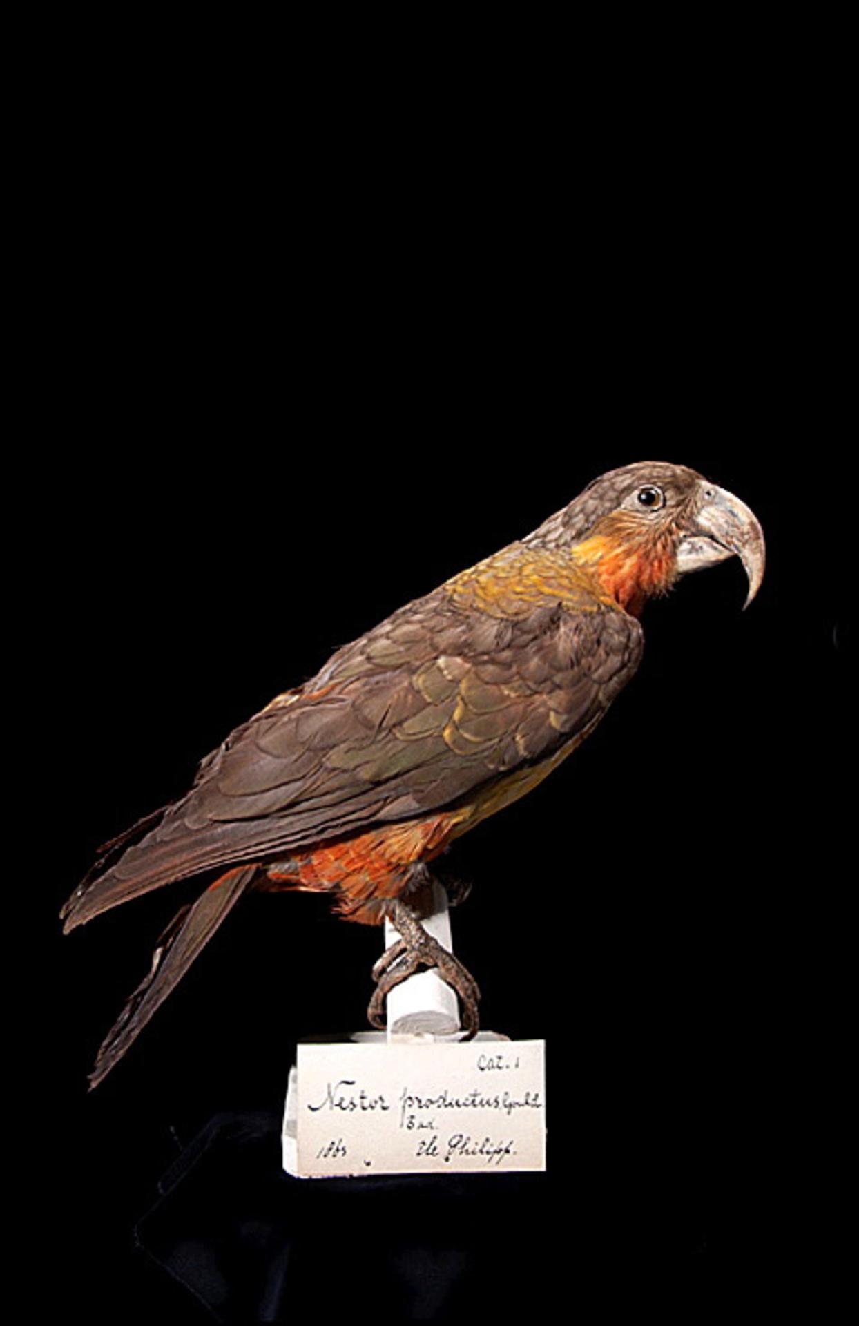 RMNH.AVES.110061 | Nestor productus (Gould, 1836)