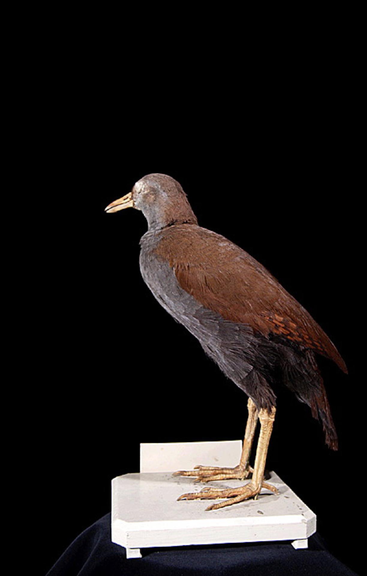 RMNH.AVES.110064 | Nesoclopeus poecilopterus poecilopterus (Hartlaub, 1866)