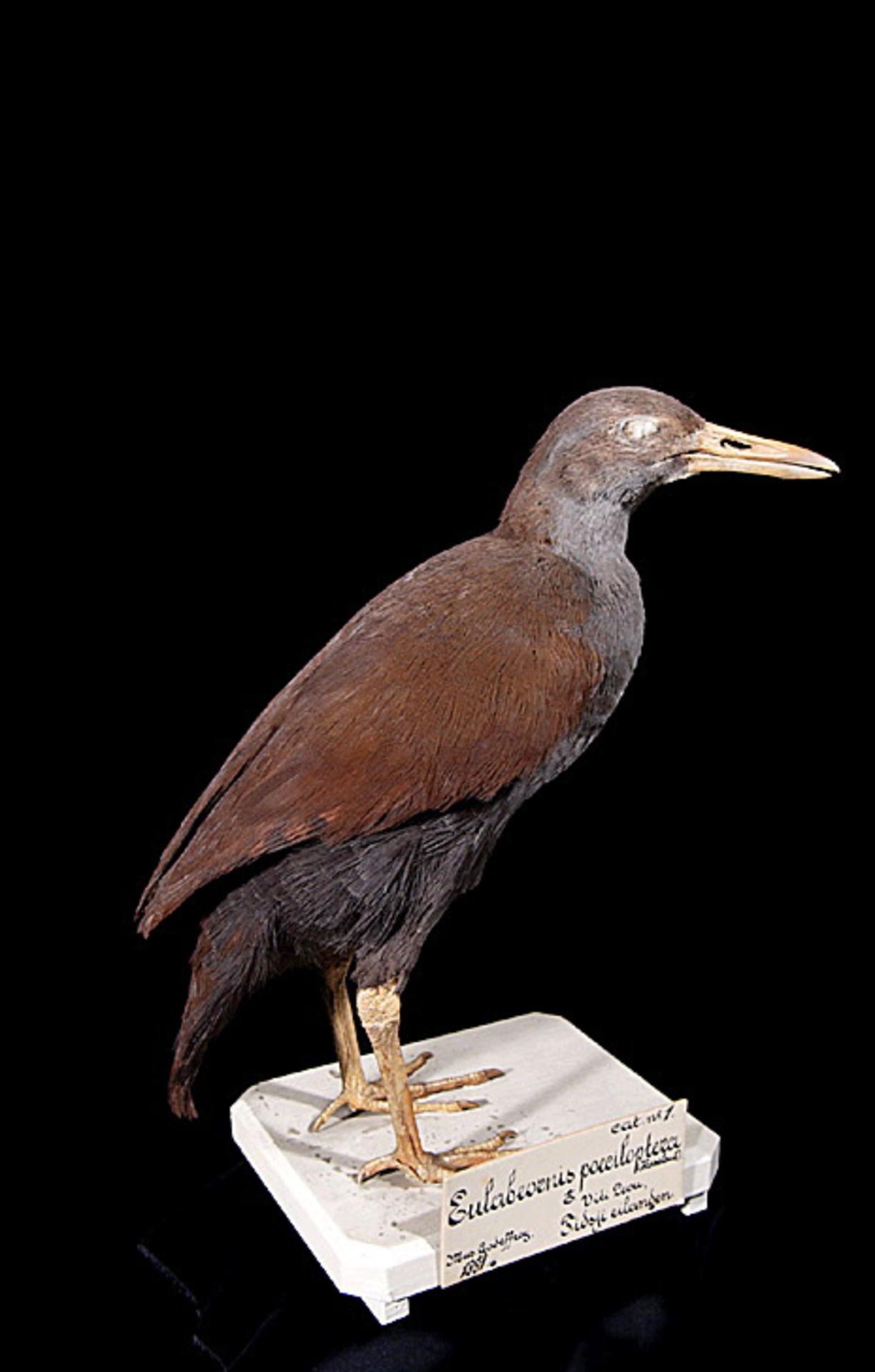 RMNH.AVES.110064 | Nesoclopeus poecilopterus poecilopterus Hartlaub, 1866