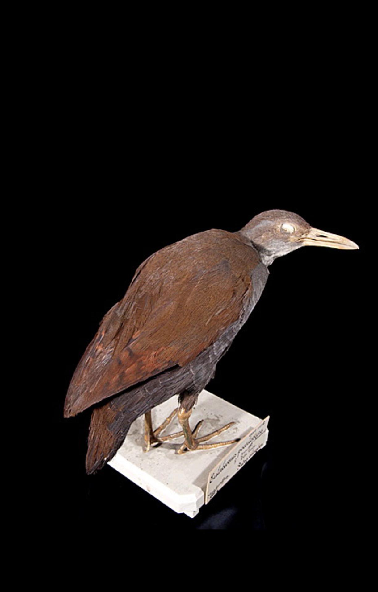 RMNH.AVES.110065 | Nesoclopeus poecilopterus poecilopterus (Hartlaub, 1866)