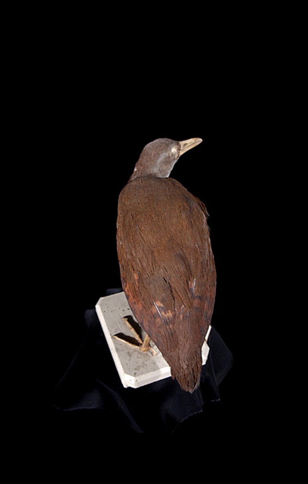 RMNH.AVES.110065 | Nesoclopeus poecilopterus poecilopterus Hartlaub, 1866