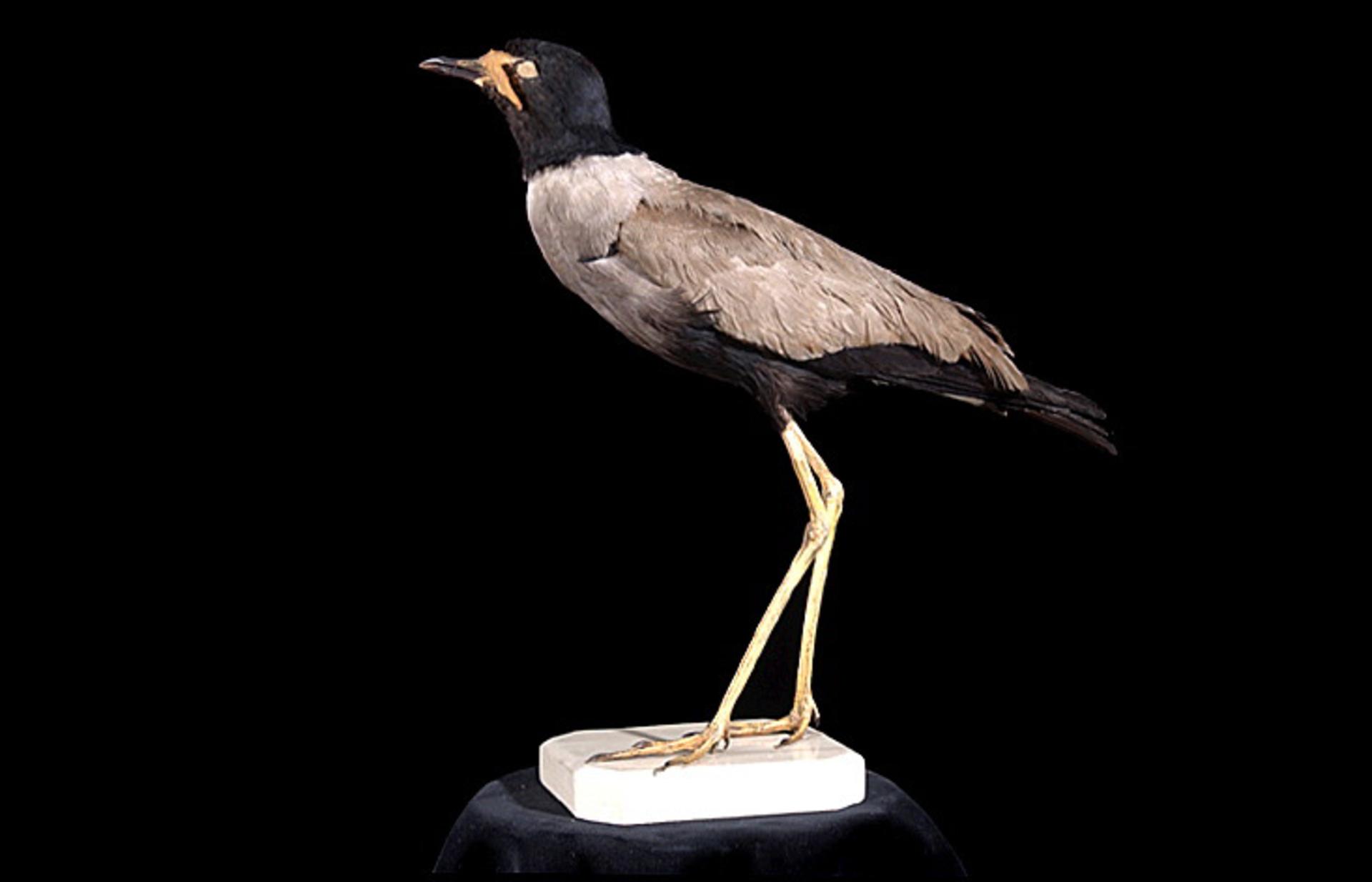 RMNH.AVES.110066 | Vanellus macropterus (Wagler, 1827)