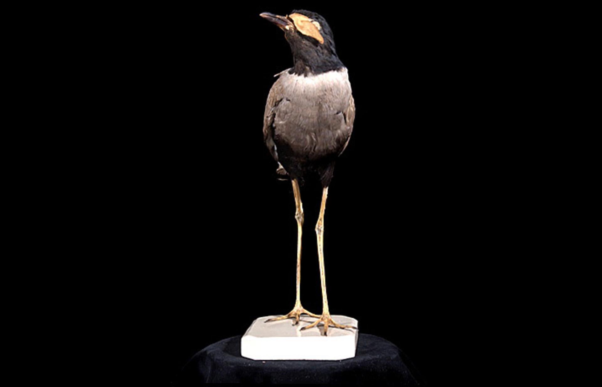 RMNH.AVES.110066 | Vanellus macropterus Wagler, 1827