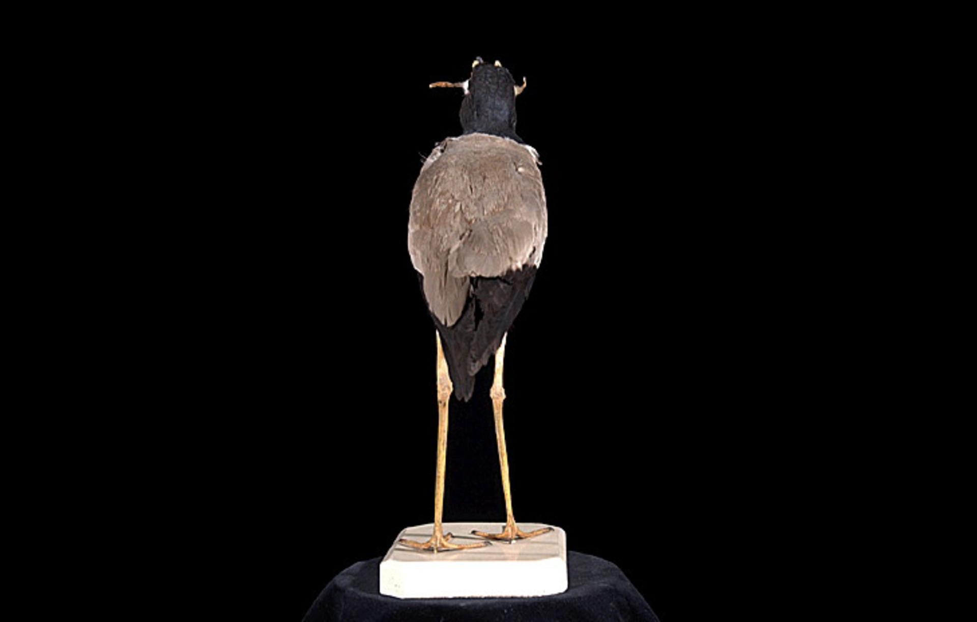 RMNH.AVES.110067 | Vanellus macropterus Wagler, 1827