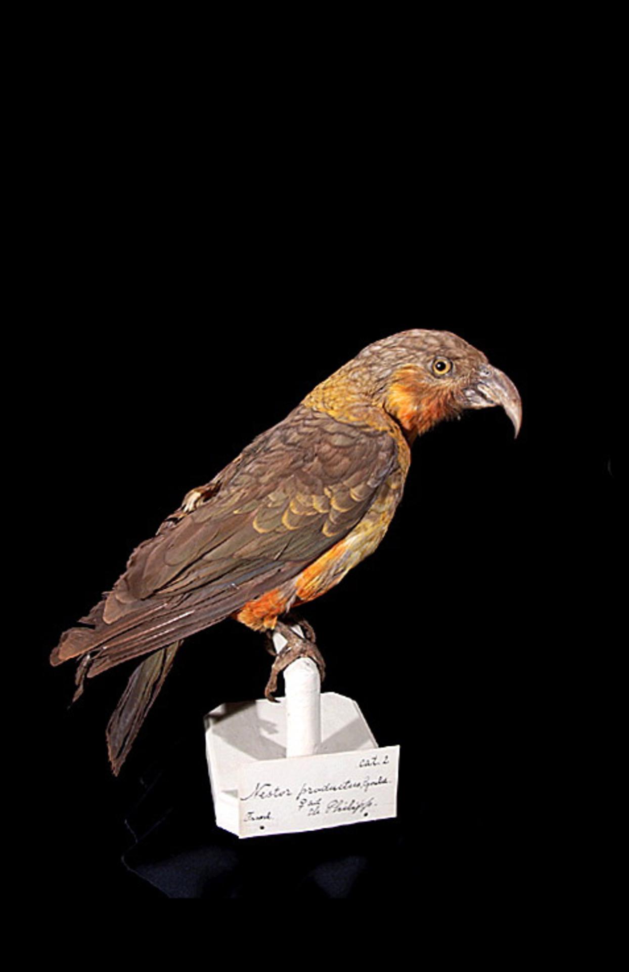 RMNH.AVES.110068 | Nestor productus (Gould, 1836)
