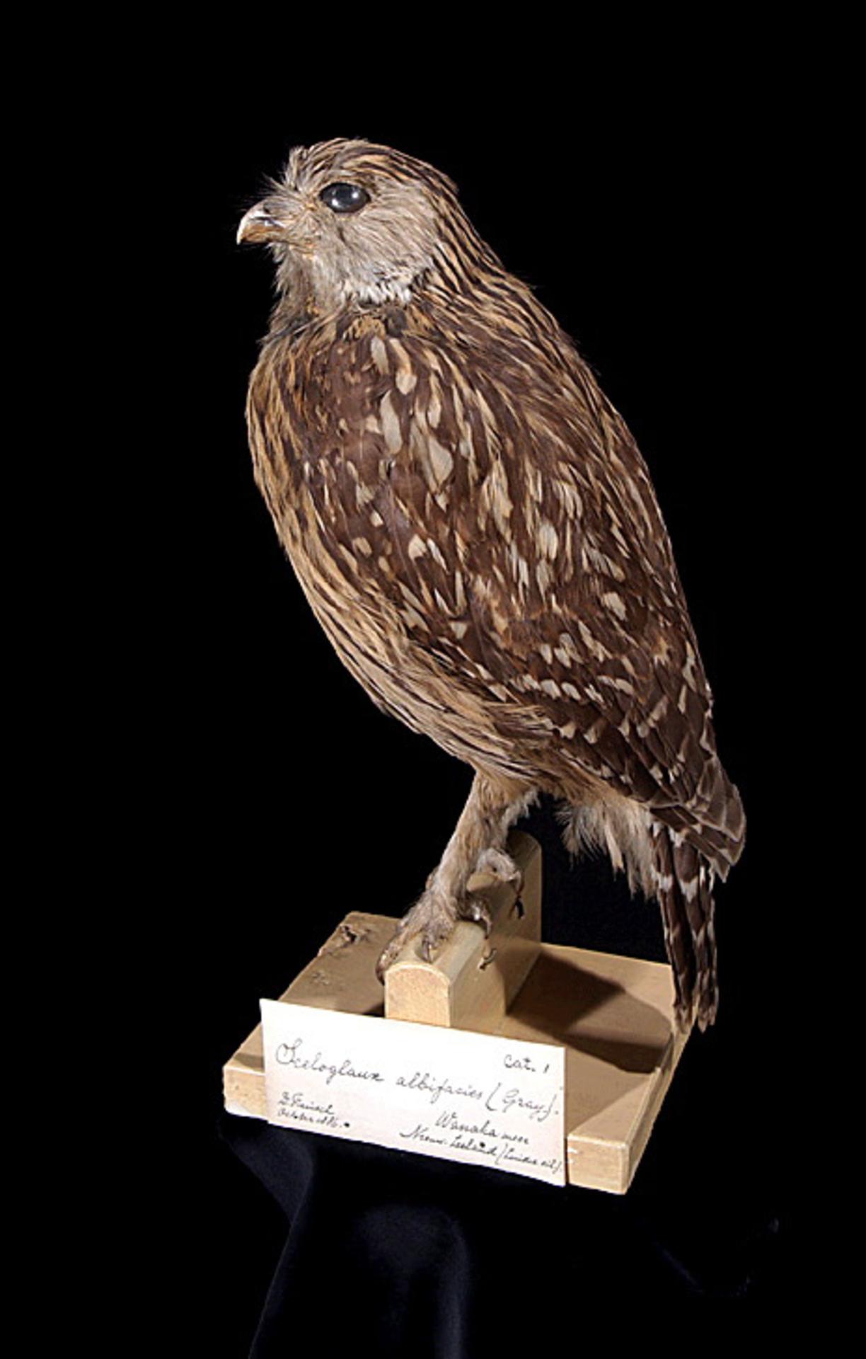 RMNH.AVES.110069 | Sceloglaux albifacies albifacies (Gray, 1844)