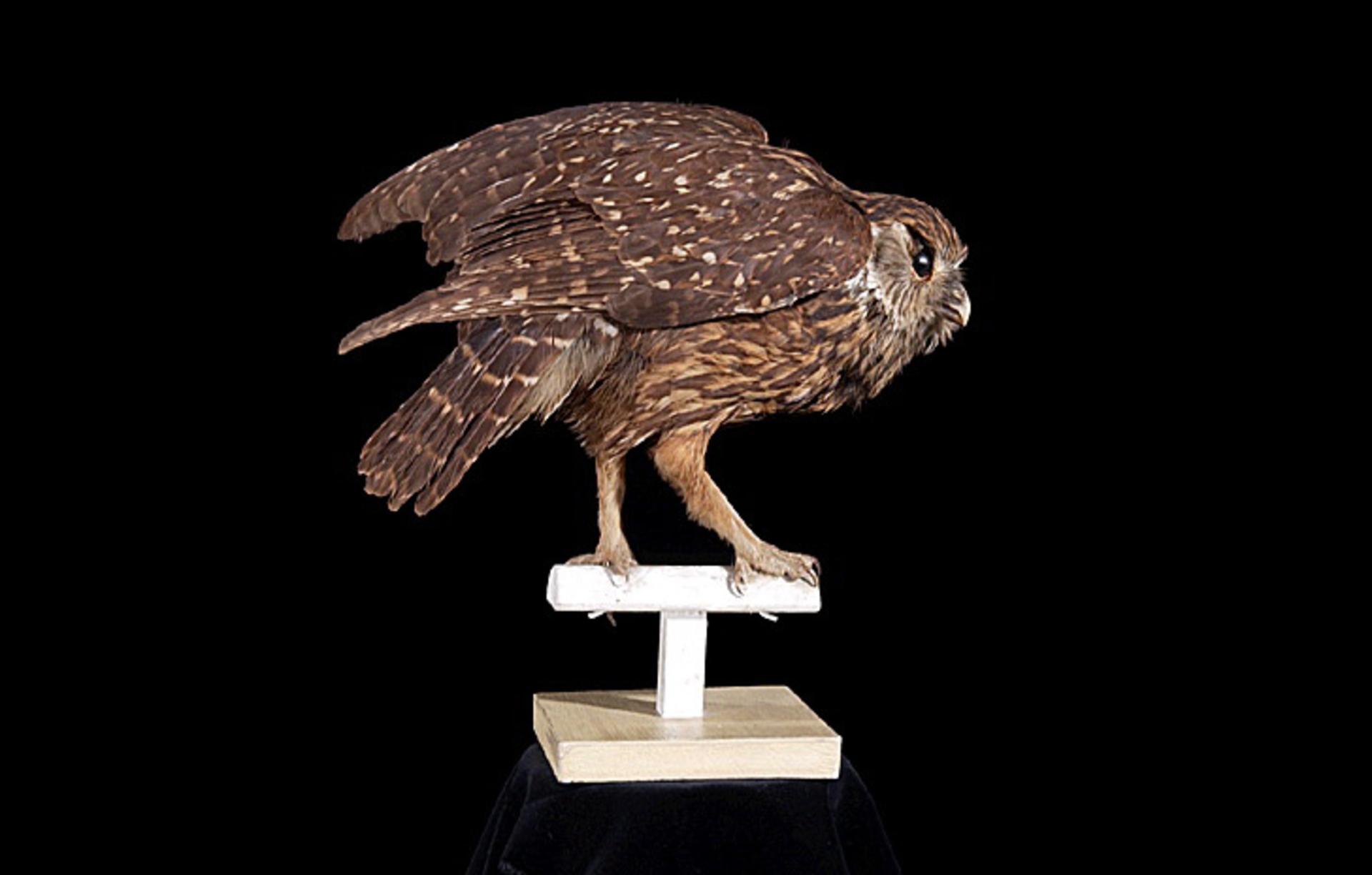 RMNH.AVES.110070 | Sceloglaux albifacies albifacies (Gray, 1844)
