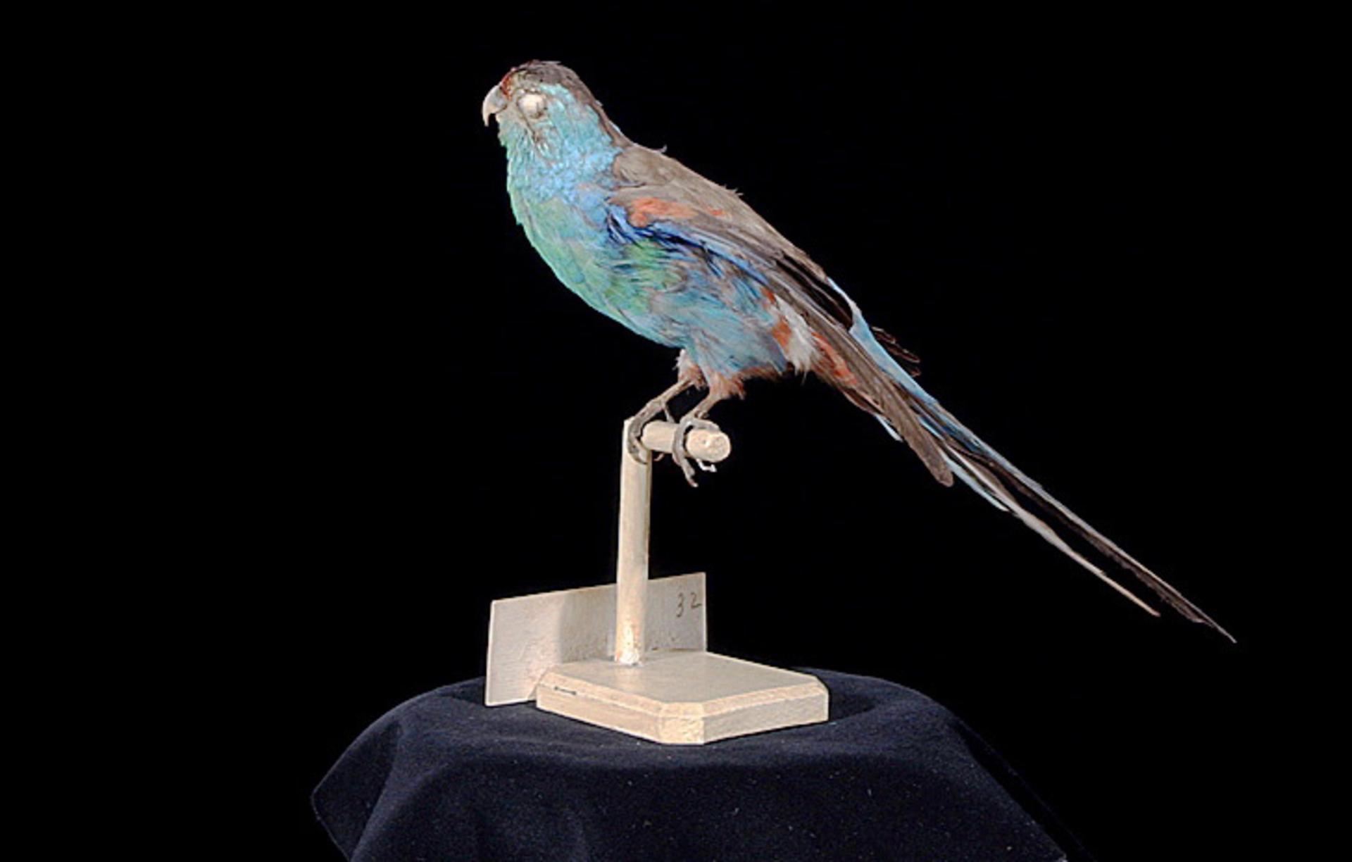 RMNH.AVES.110071   Psephotus pulcherrimus Gould, 1845