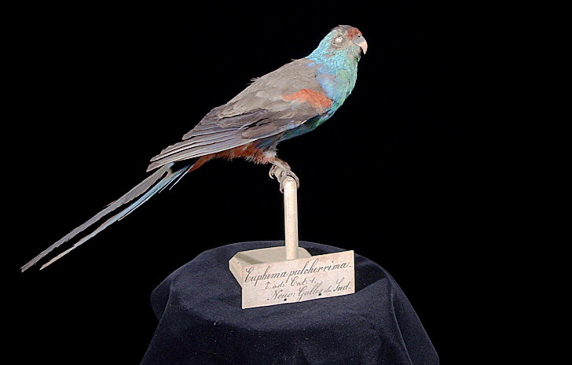 RMNH.AVES.110071 | Psephotus pulcherrimus (Gould, 1845)
