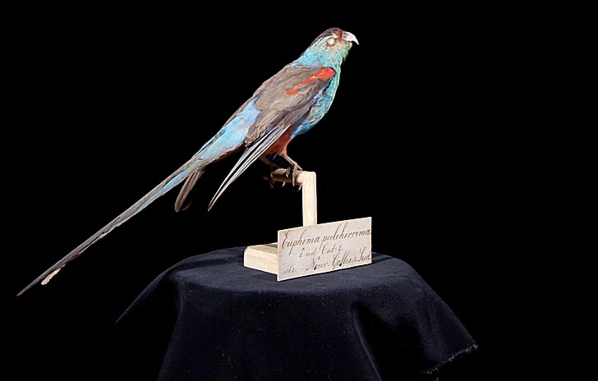 RMNH.AVES.110072 | Psephotus pulcherrimus (Gould, 1845)