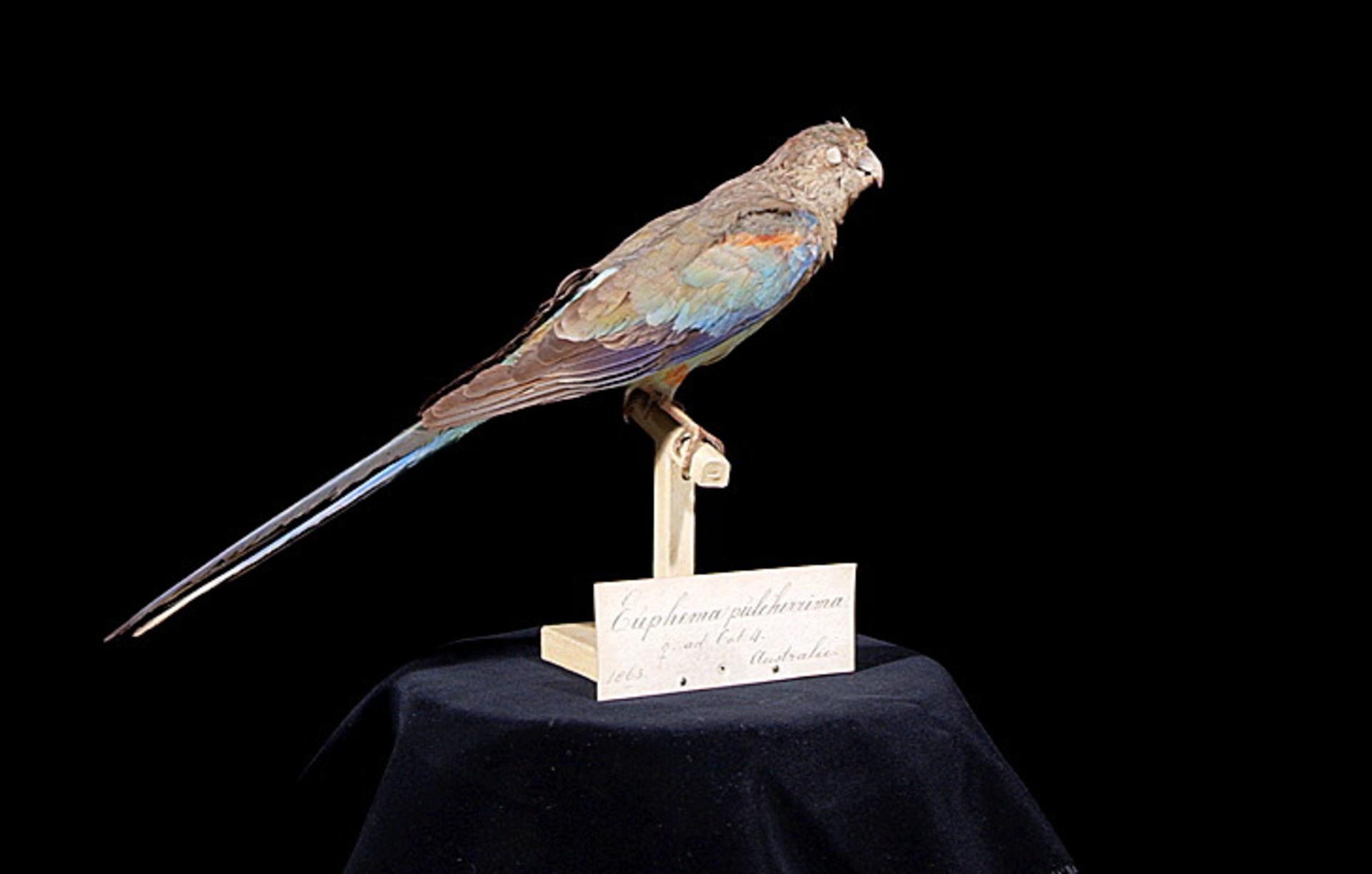 RMNH.AVES.110074 | Psephotus pulcherrimus (Gould, 1845)