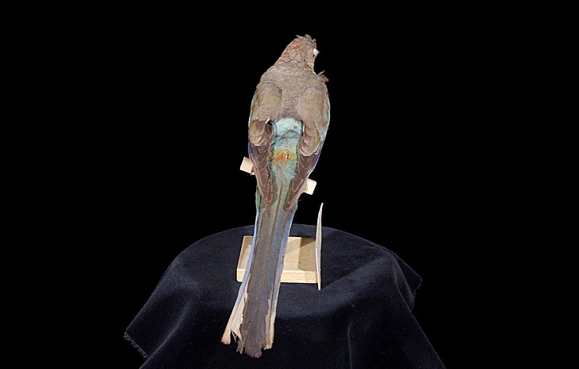 RMNH.AVES.110074 | Psephotus pulcherrimus Gould, 1845