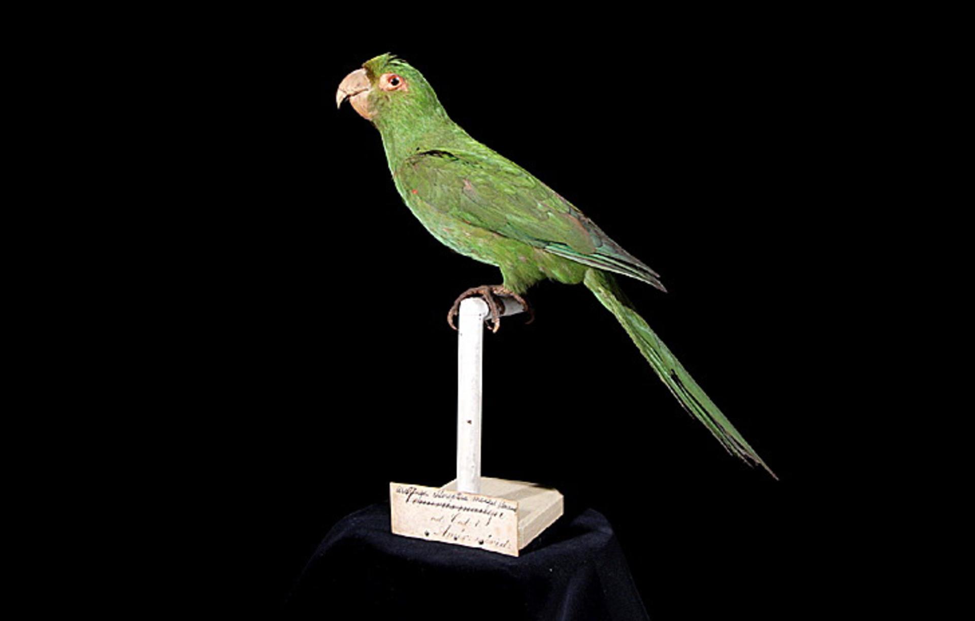 RMNH.AVES.110079 | Aratinga chloroptera maugei Souancé, 1856