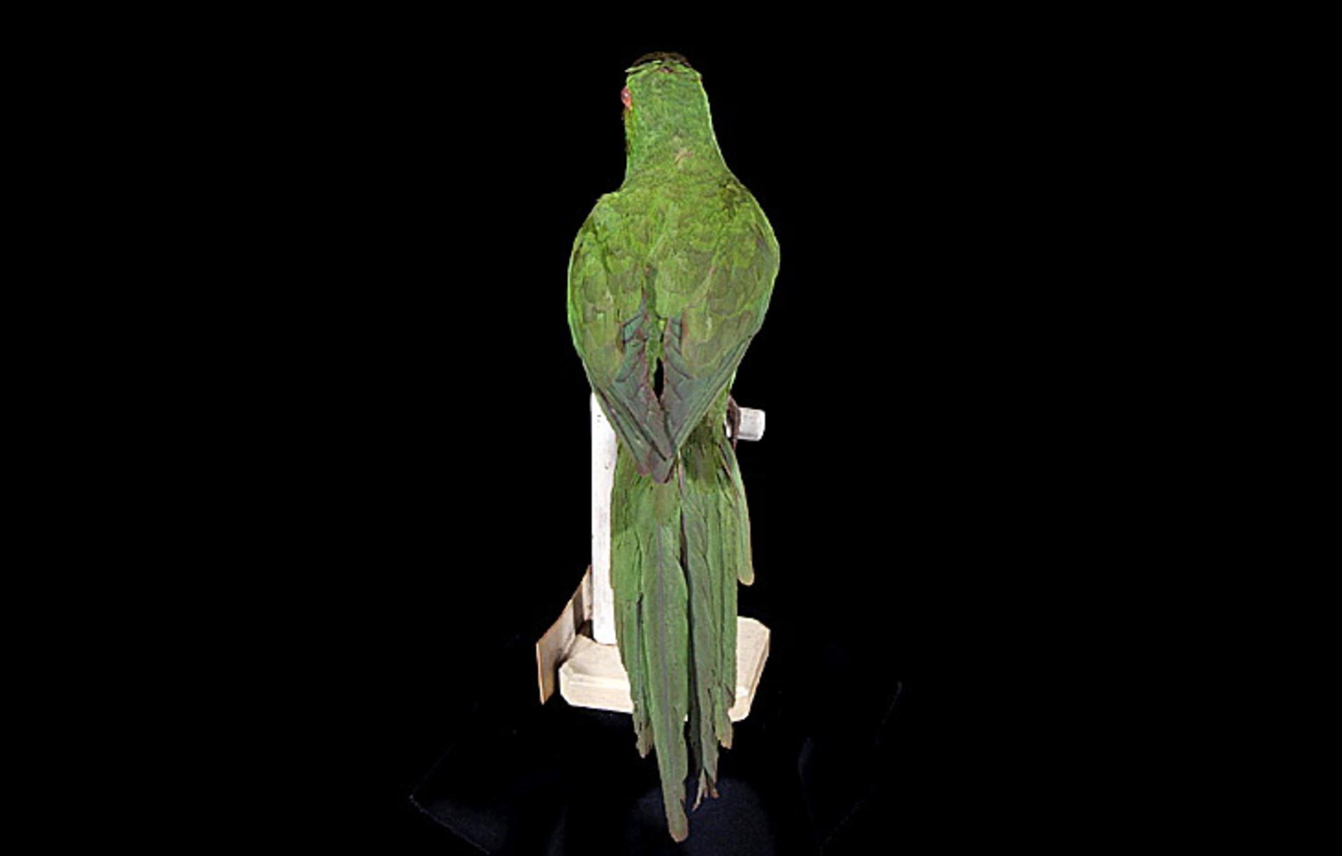 RMNH.AVES.110079 | Aratinga chloroptera maugei (Souancé, 1856)