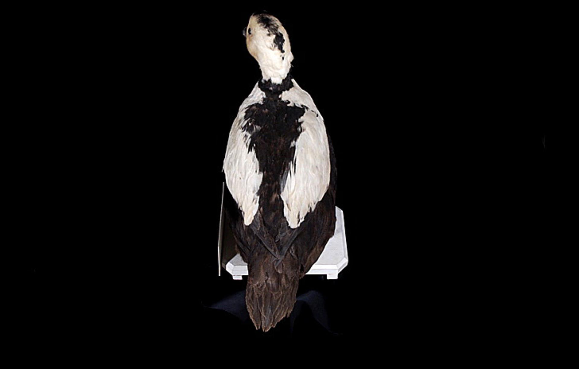 RMNH.AVES.110083 | Camptorhynchus labradorius (Gmelin, 1789)