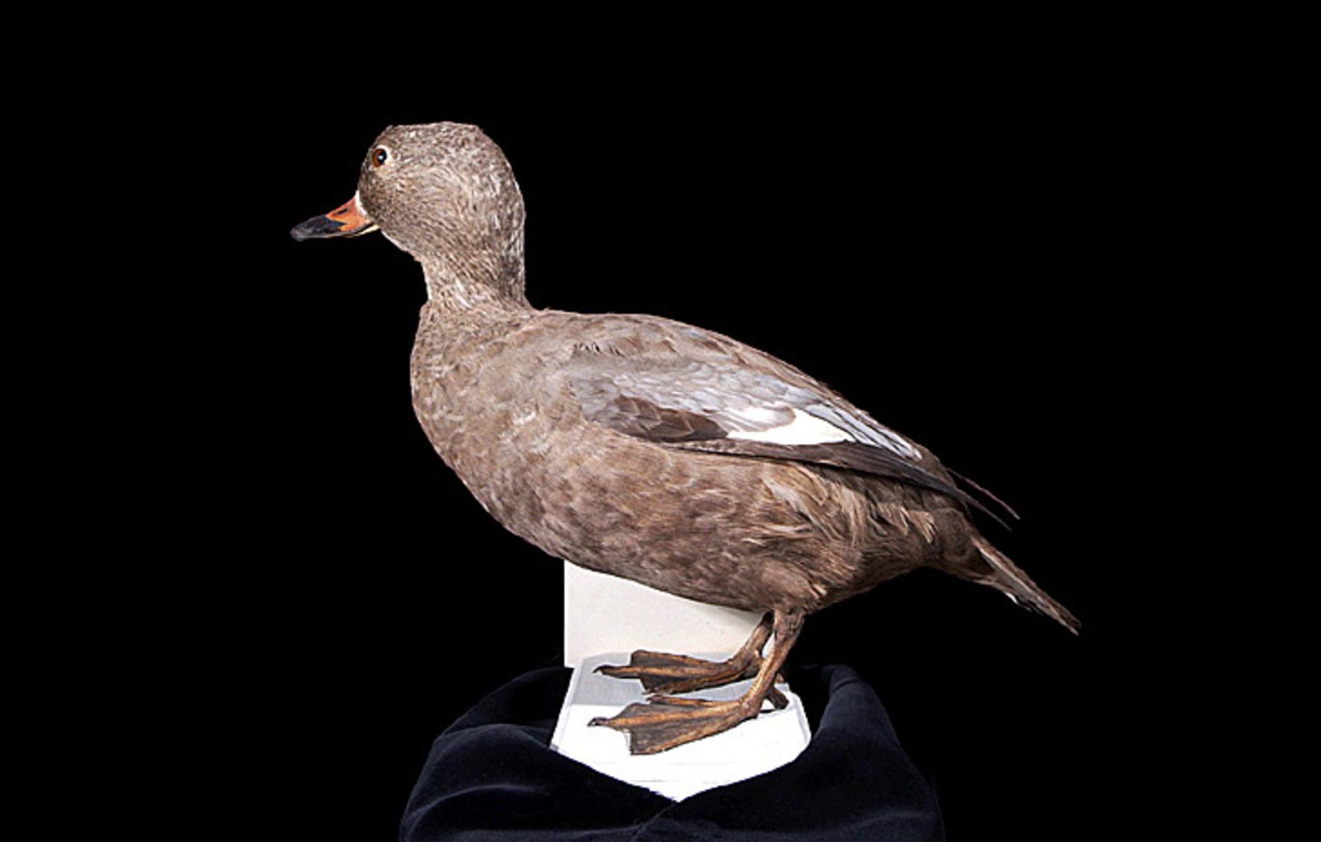 RMNH.AVES.110084 | Camptorhynchus labradorius (Gmelin, 1789)