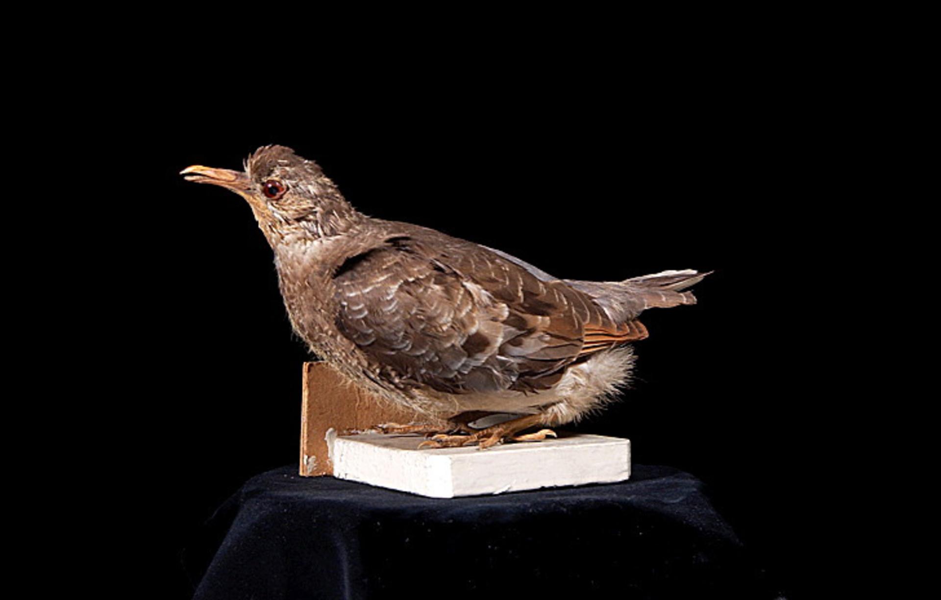 RMNH.AVES.110088 | Ectopistes migratorius Linnaeus, 1766