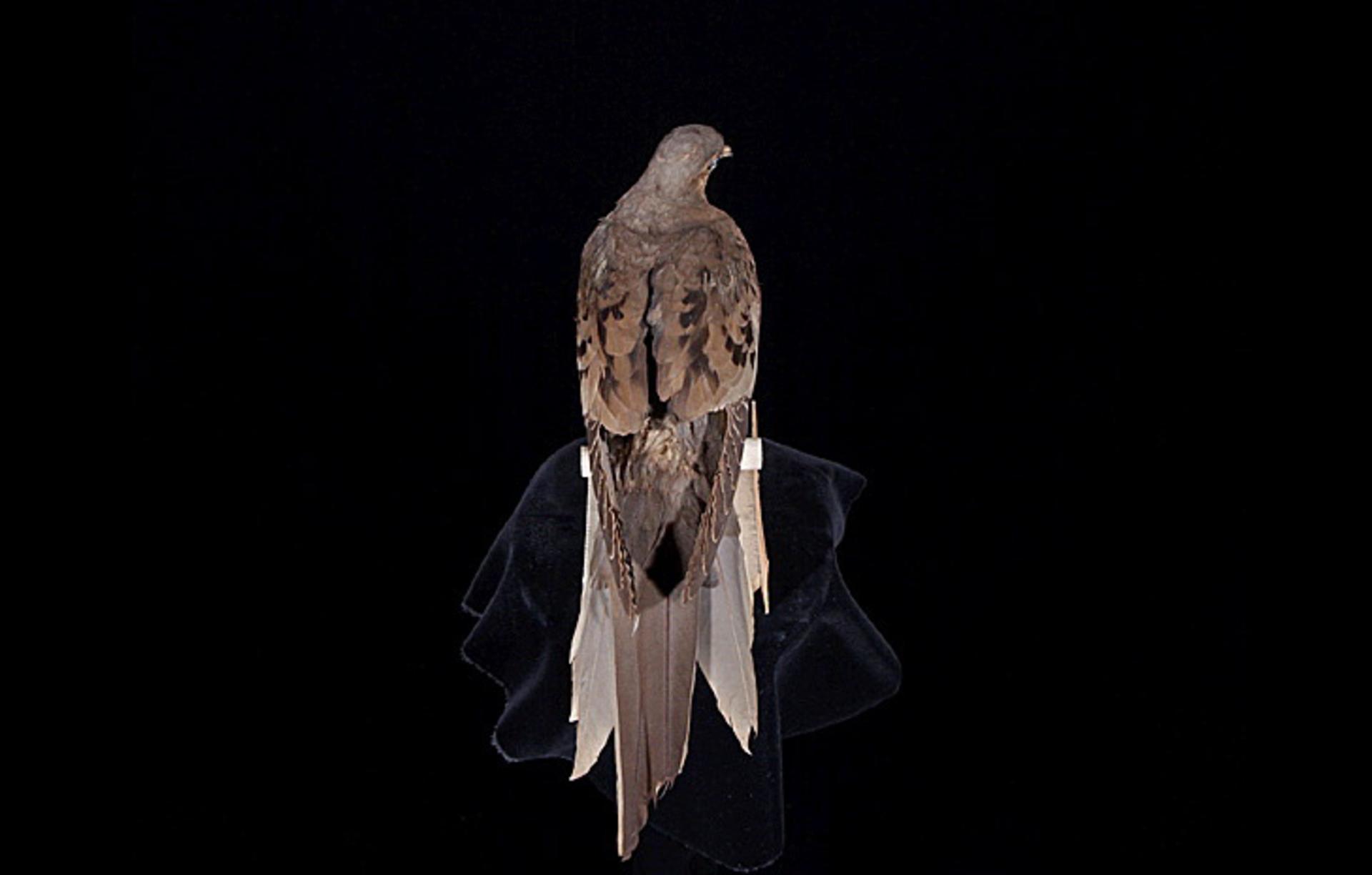 RMNH.AVES.110089 | Ectopistes migratorius Linnaeus, 1766