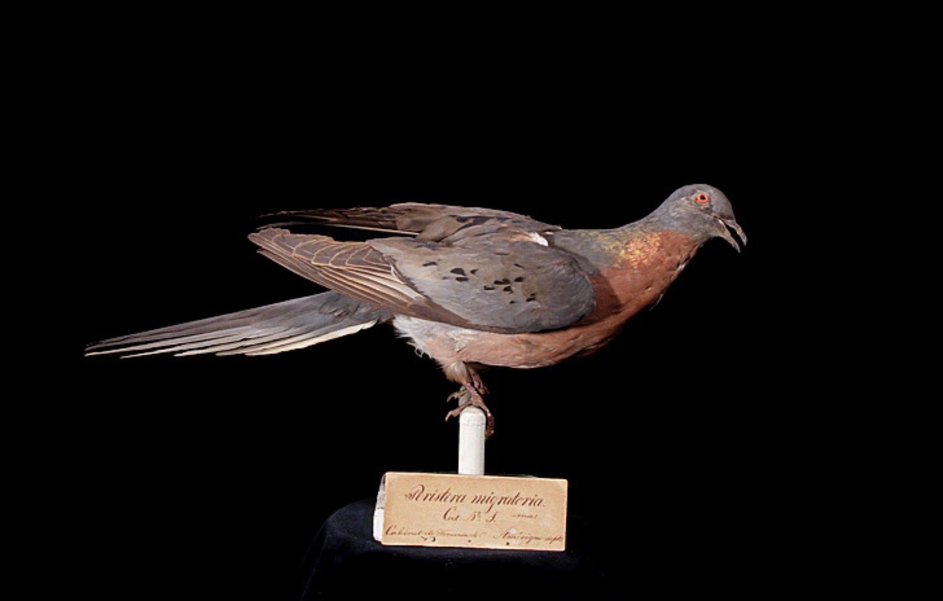 RMNH.AVES.110090 | Ectopistes migratorius Linnaeus, 1766