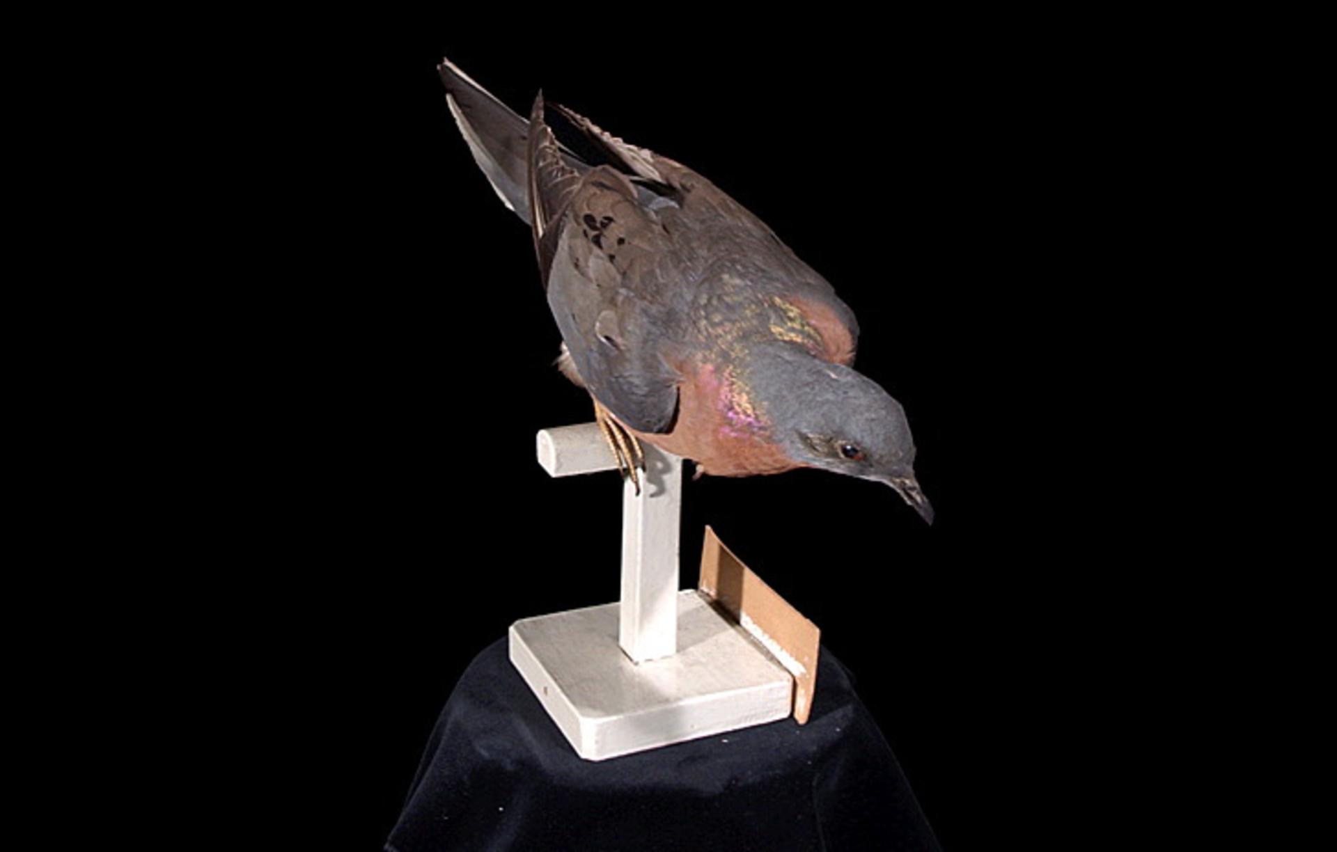 RMNH.AVES.110092 | Ectopistes migratorius (Linnaeus, 1766)