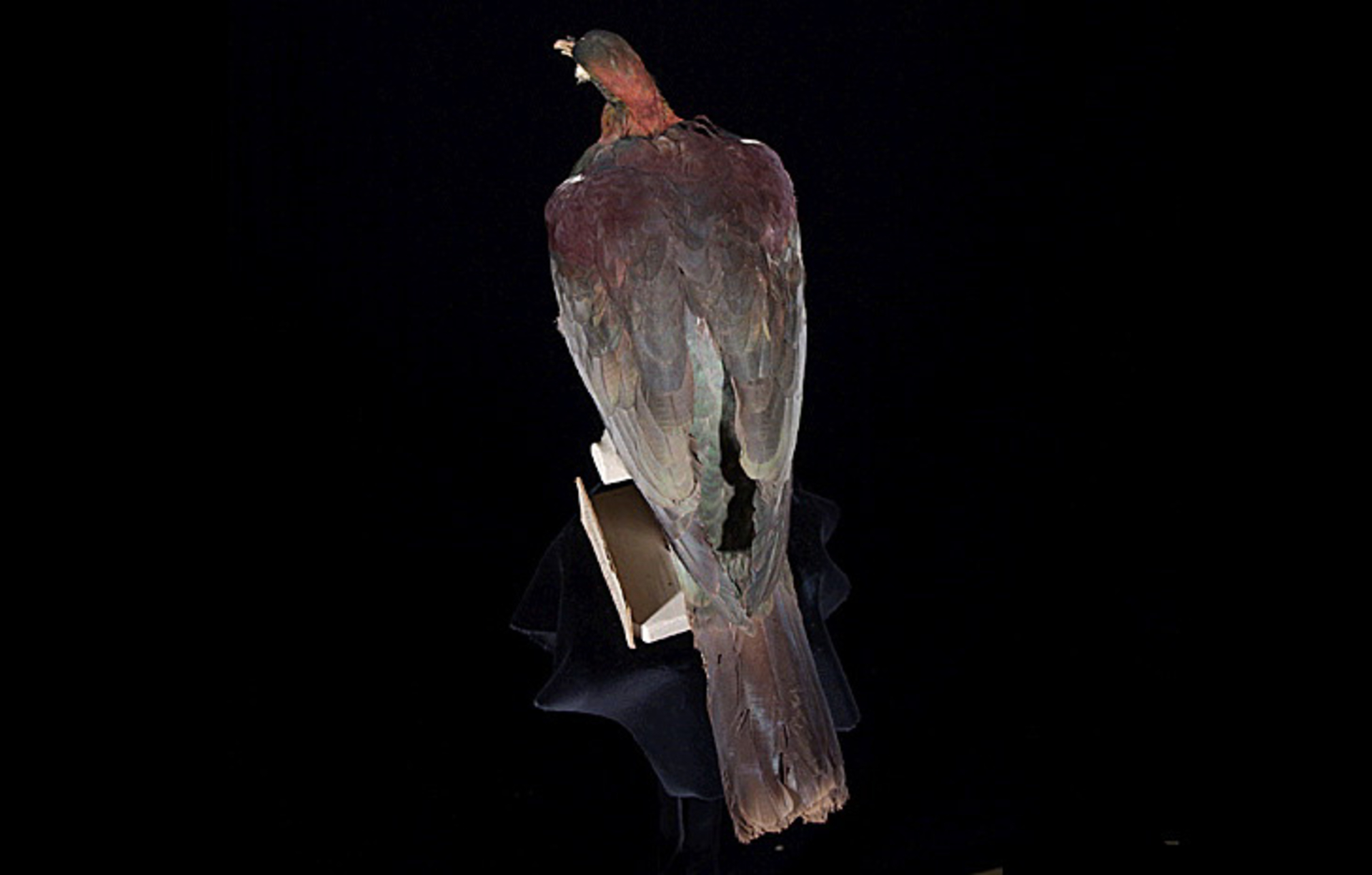 RMNH.AVES.110094 | Hemiphaga novaeseelandiae spadicea Latham, 1802