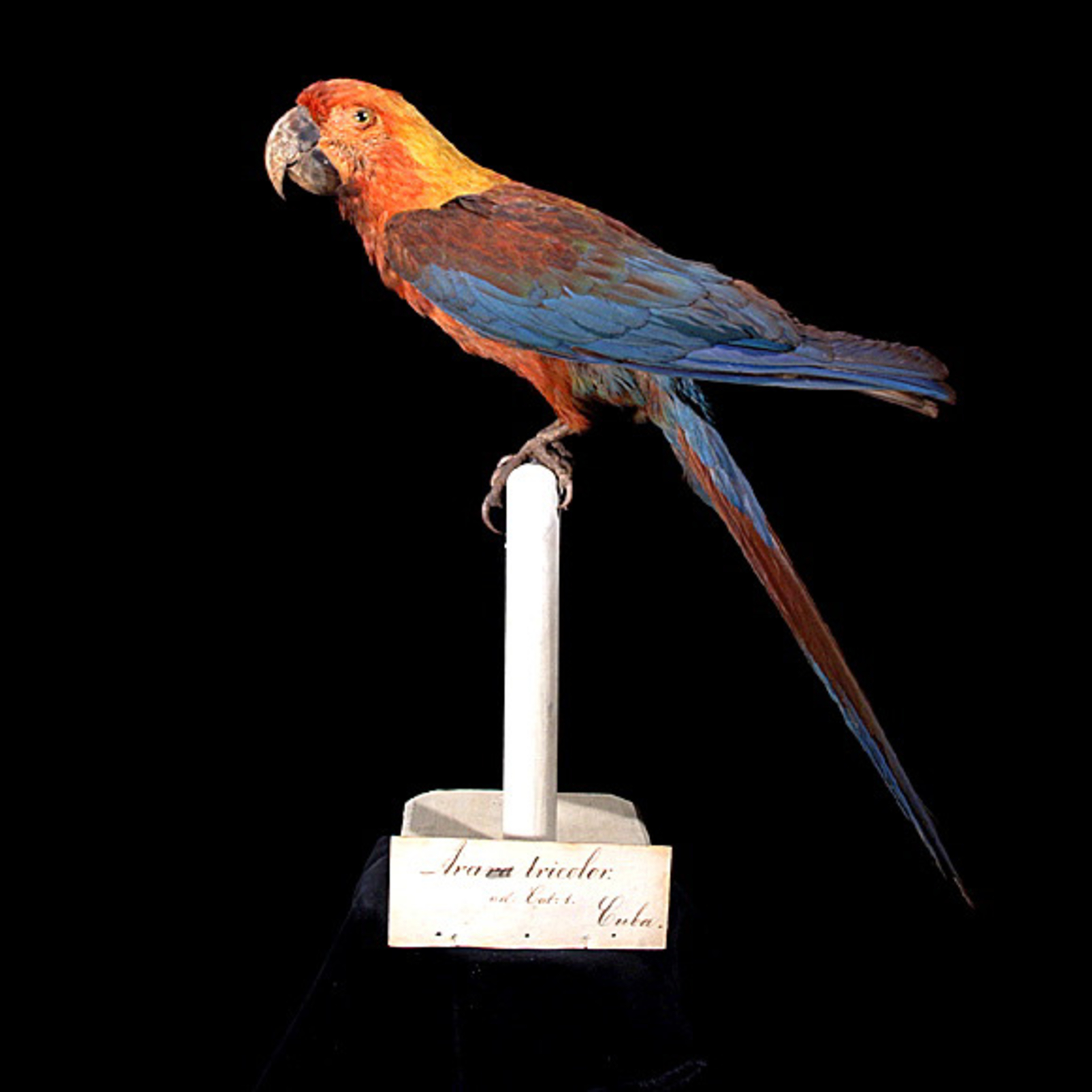 RMNH.AVES.110095 | Ara tricolor Bechstein, 1811