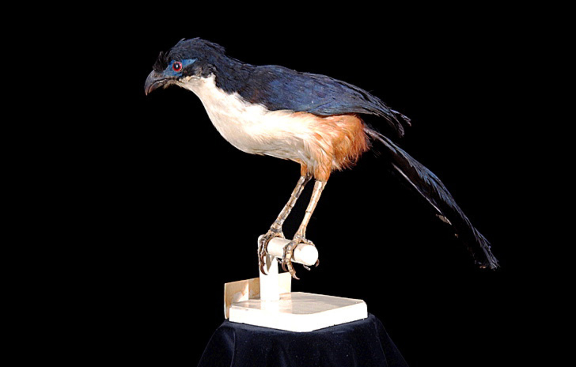 RMNH.AVES.110100 | Coua delalandei (Temminck, 1827)