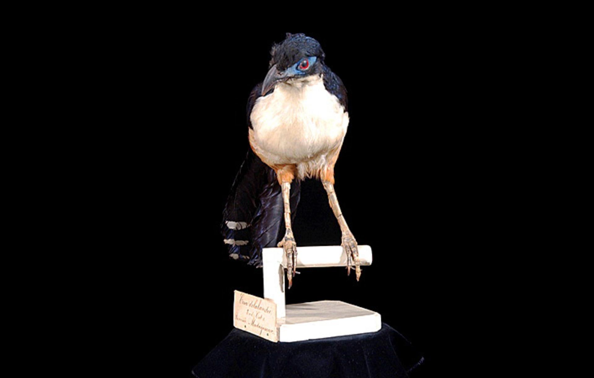 RMNH.AVES.110100 | Coua delalandei Temminck, 1827