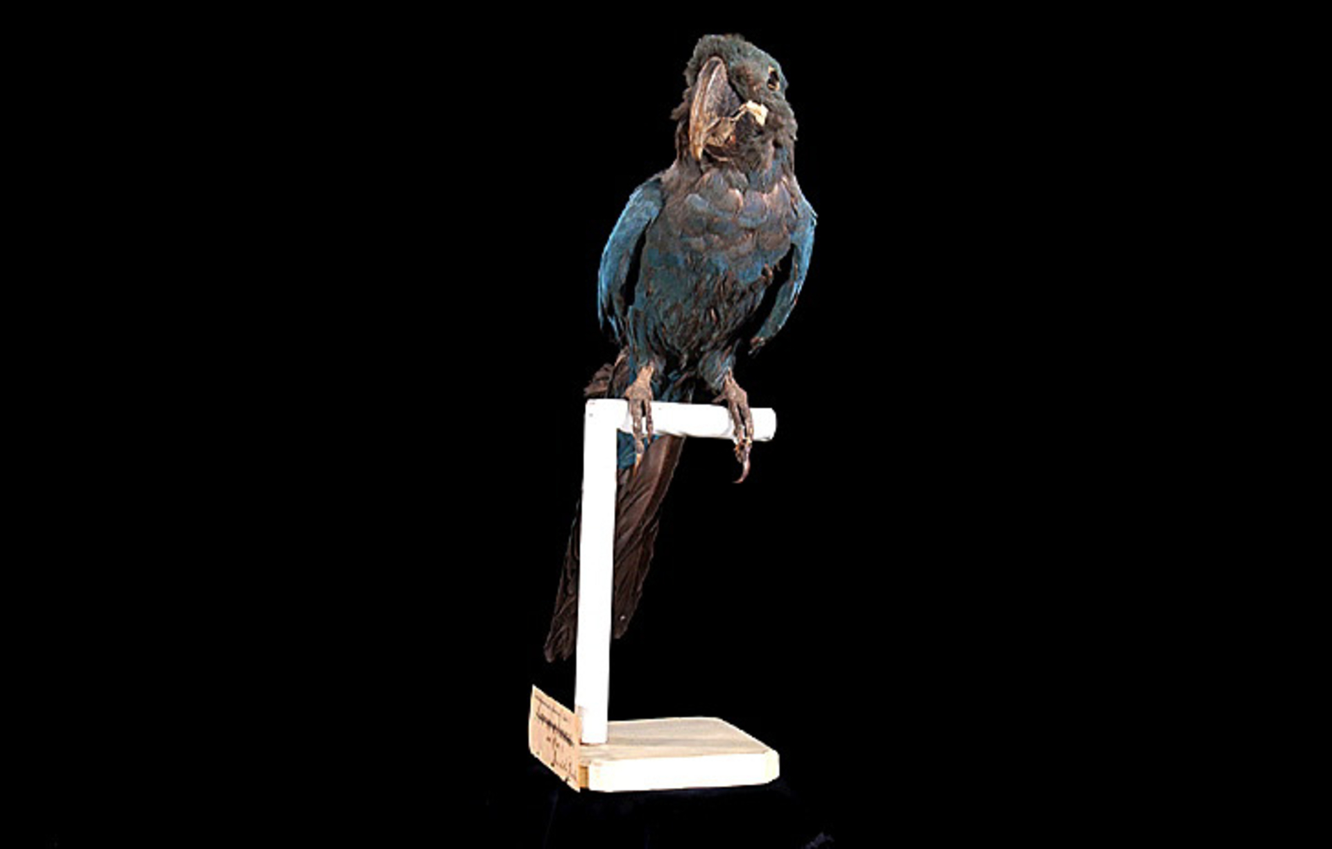 RMNH.AVES.110103 | Anodorhynchus glaucus Vieillot, 1816