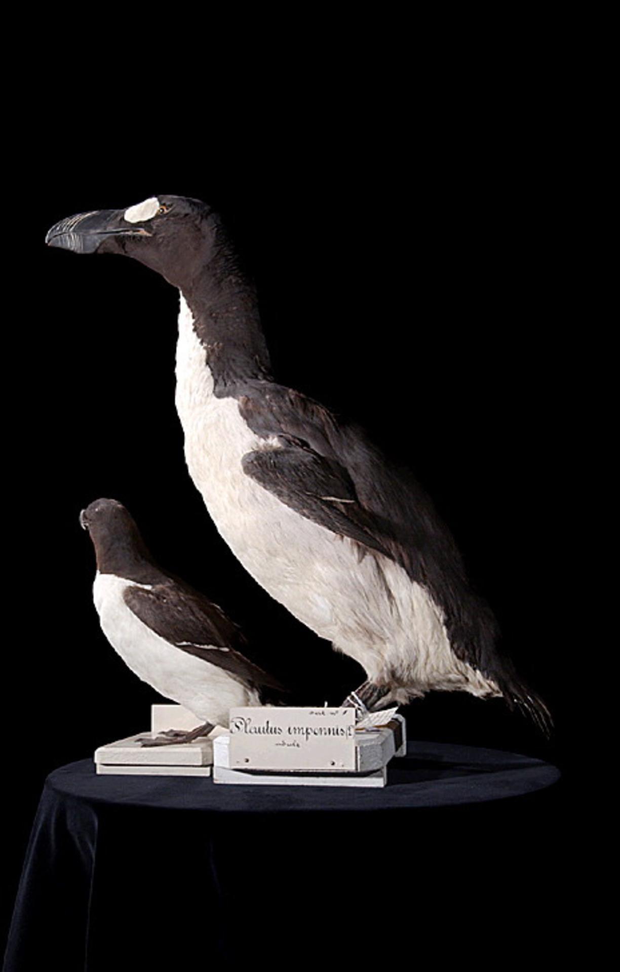 RMNH.AVES.110104 | Pinguinus impennis Linnaeus, 1758